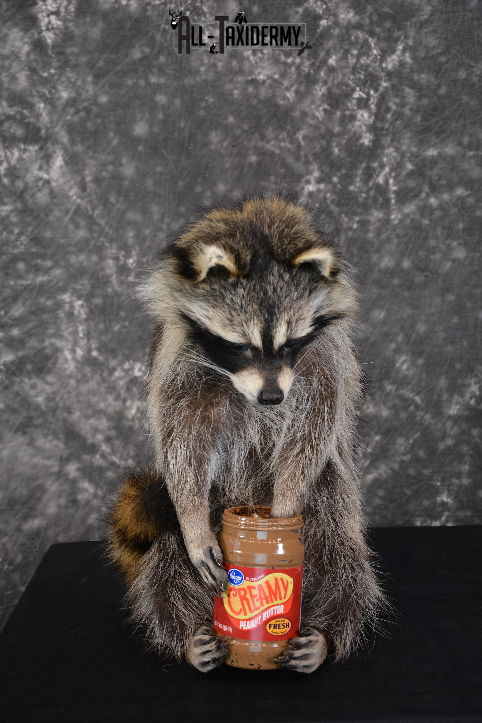 Raccoon holding peanut butter jar Novelty Taxidermy Mount for sale SKU 1489