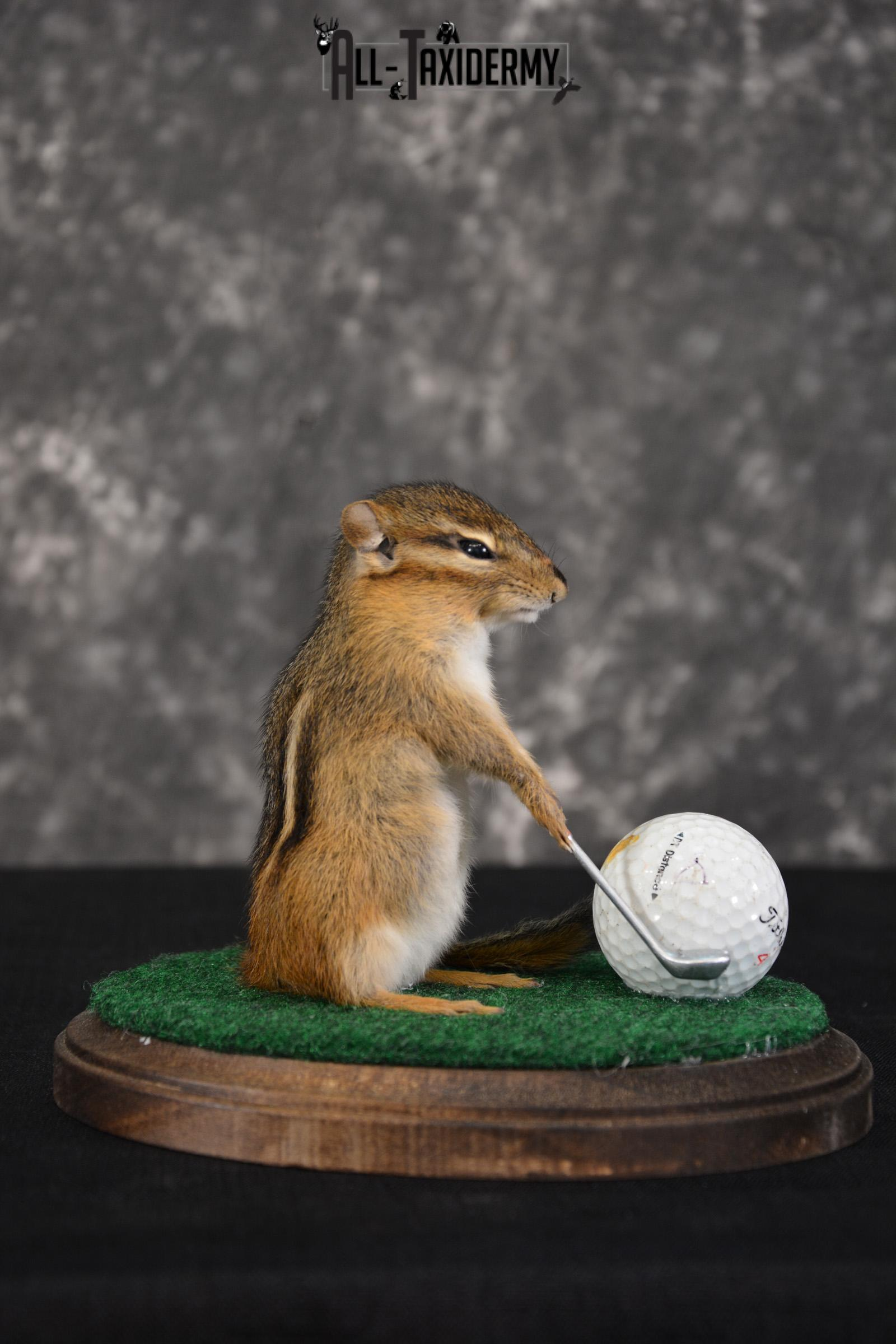 Chipmunk Golfing Taxidermy Mount for sale SKU 1486