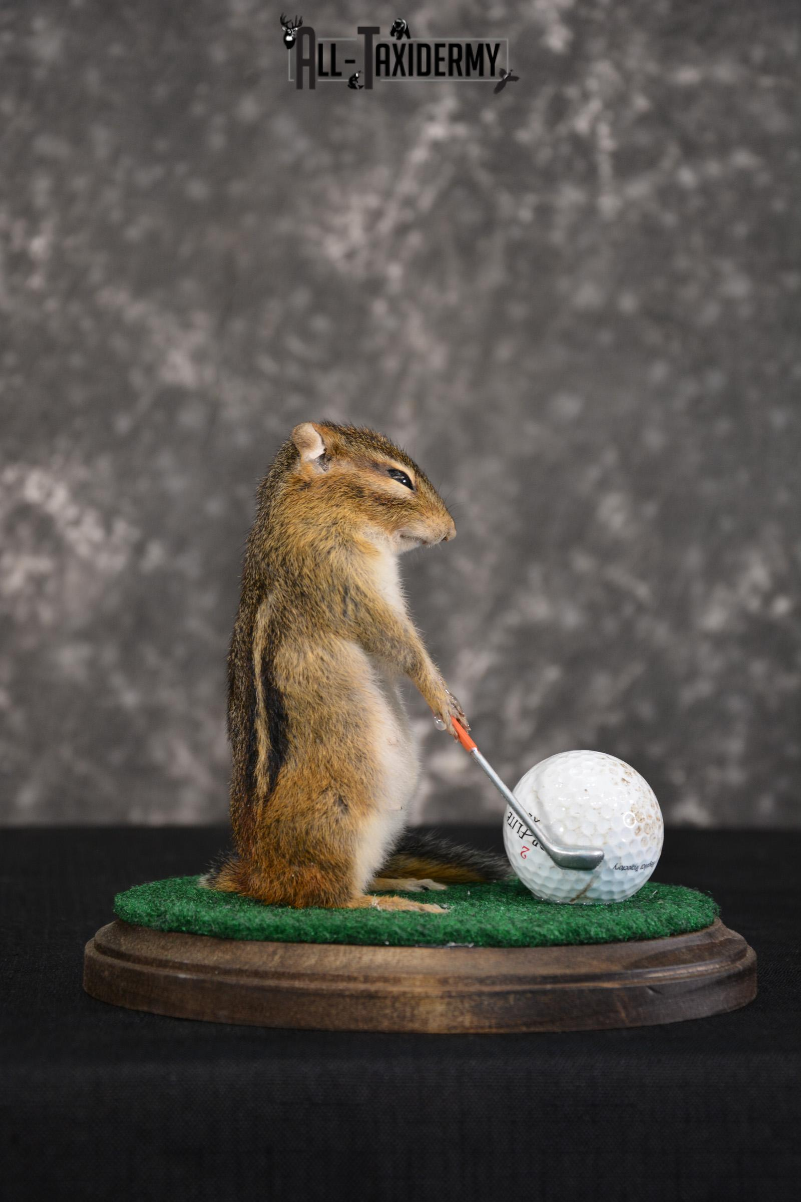 Chipmunk Golfing Taxidermy Mount for sale SKU 1485