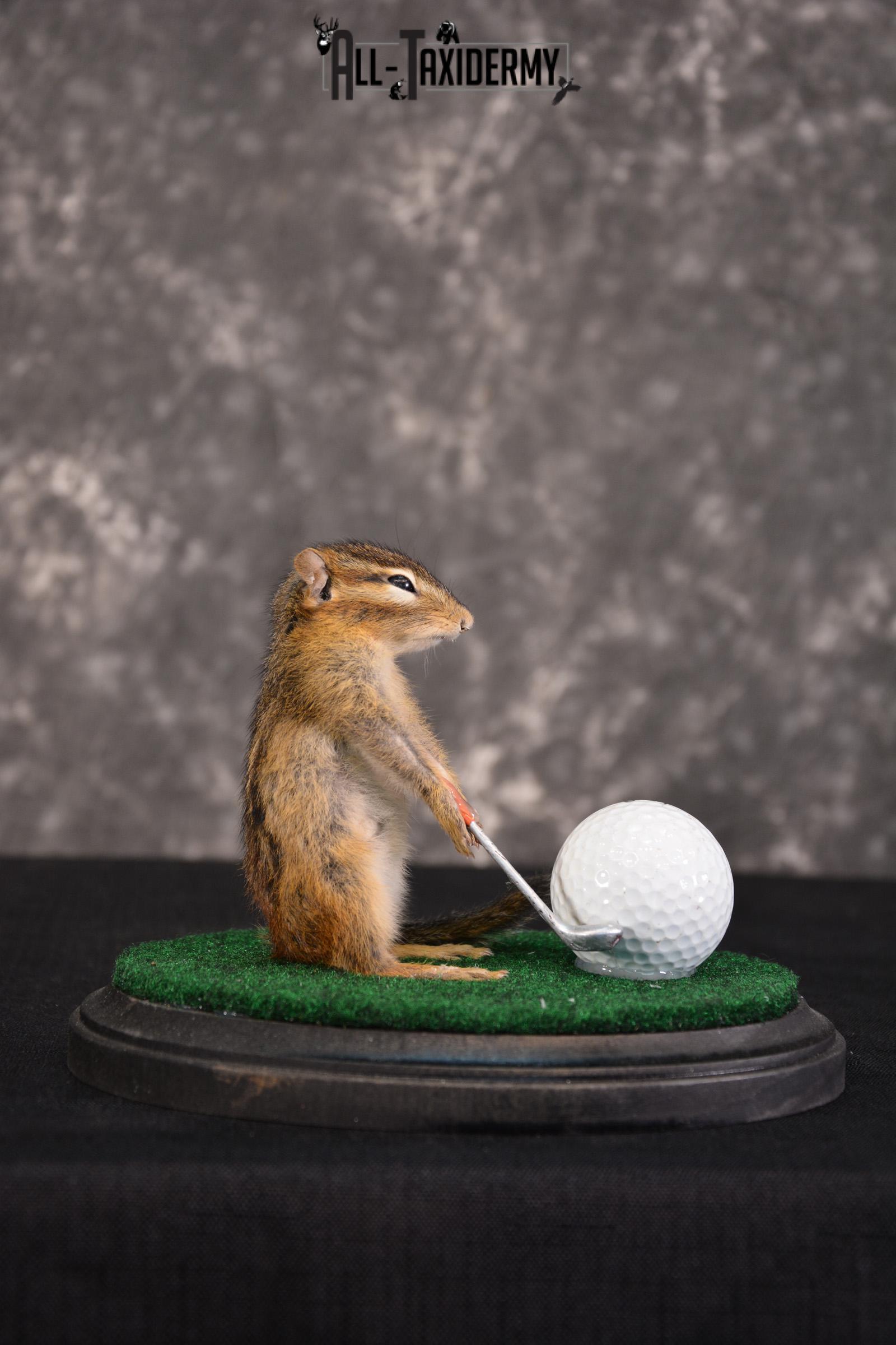 Chipmunk Golfing Taxidermy Mount for sale SKU 1484