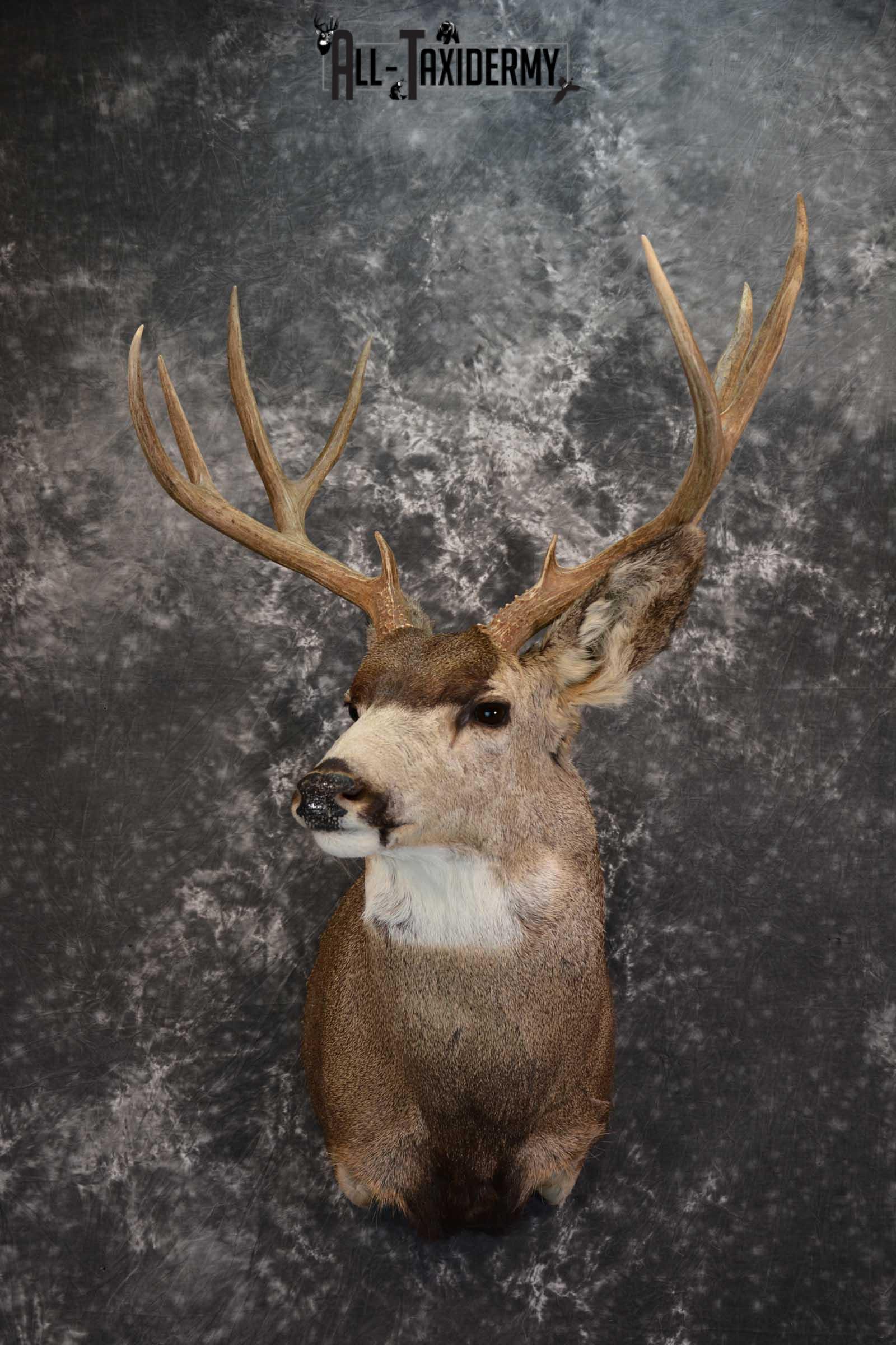 Mule Deer Taxidermy Shoulder Mount for sale SKU 1512