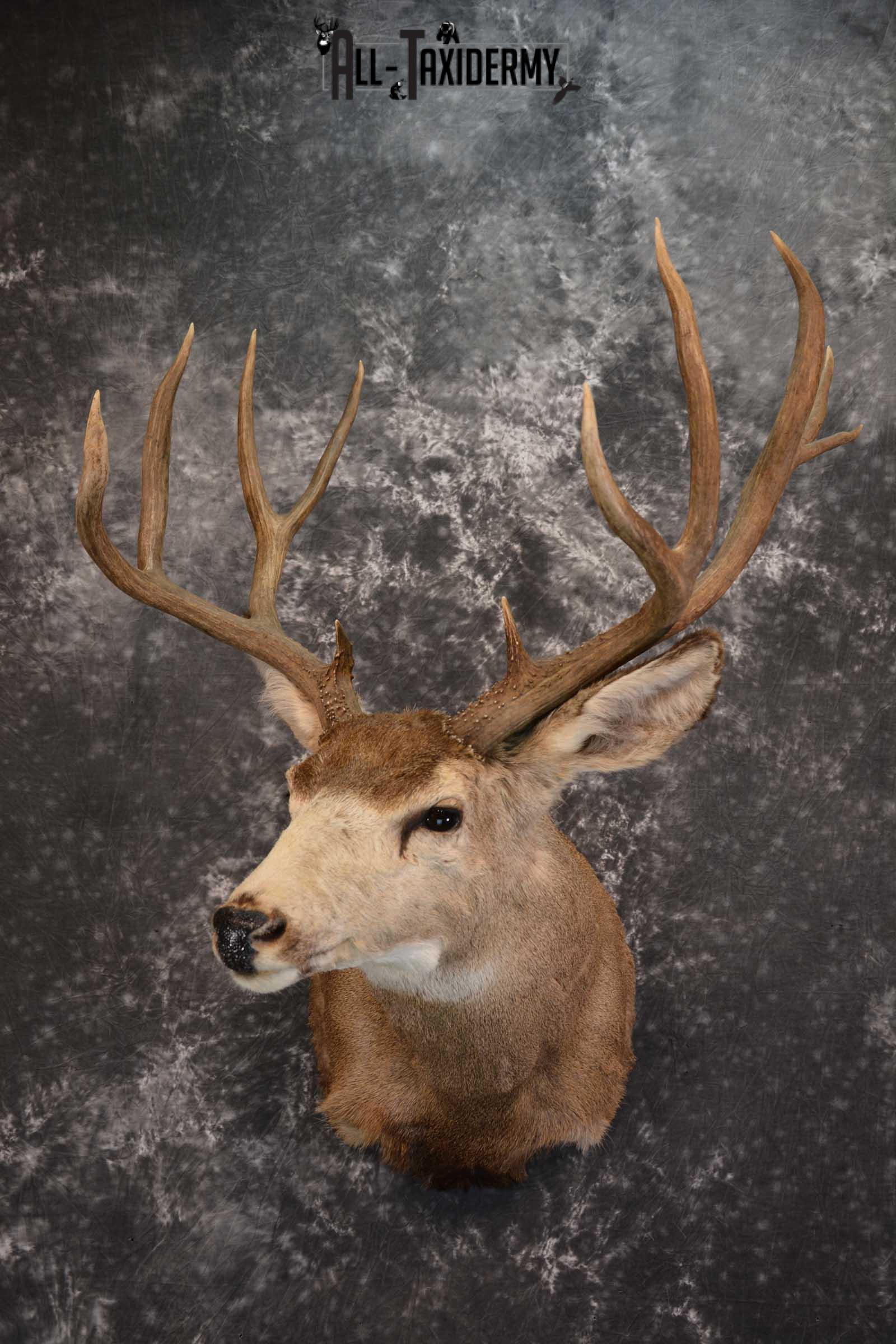 Mule Deer Taxidermy Shoulder Mount for sale SKU 1517