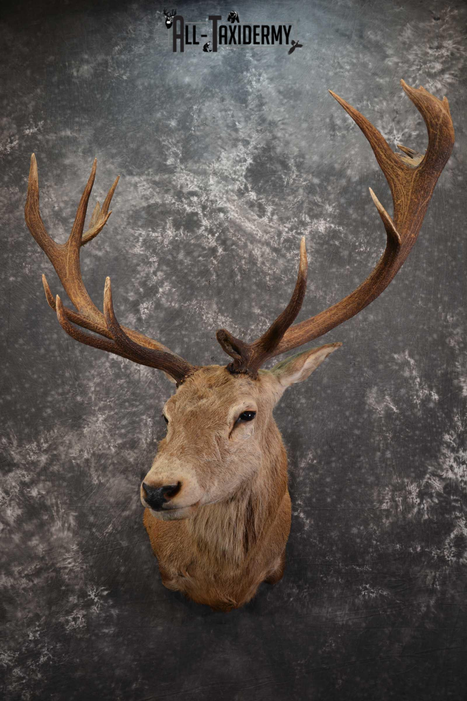 Red Stage Taxidermy Shoulder Mount Taxidermy for sale SKU 1522