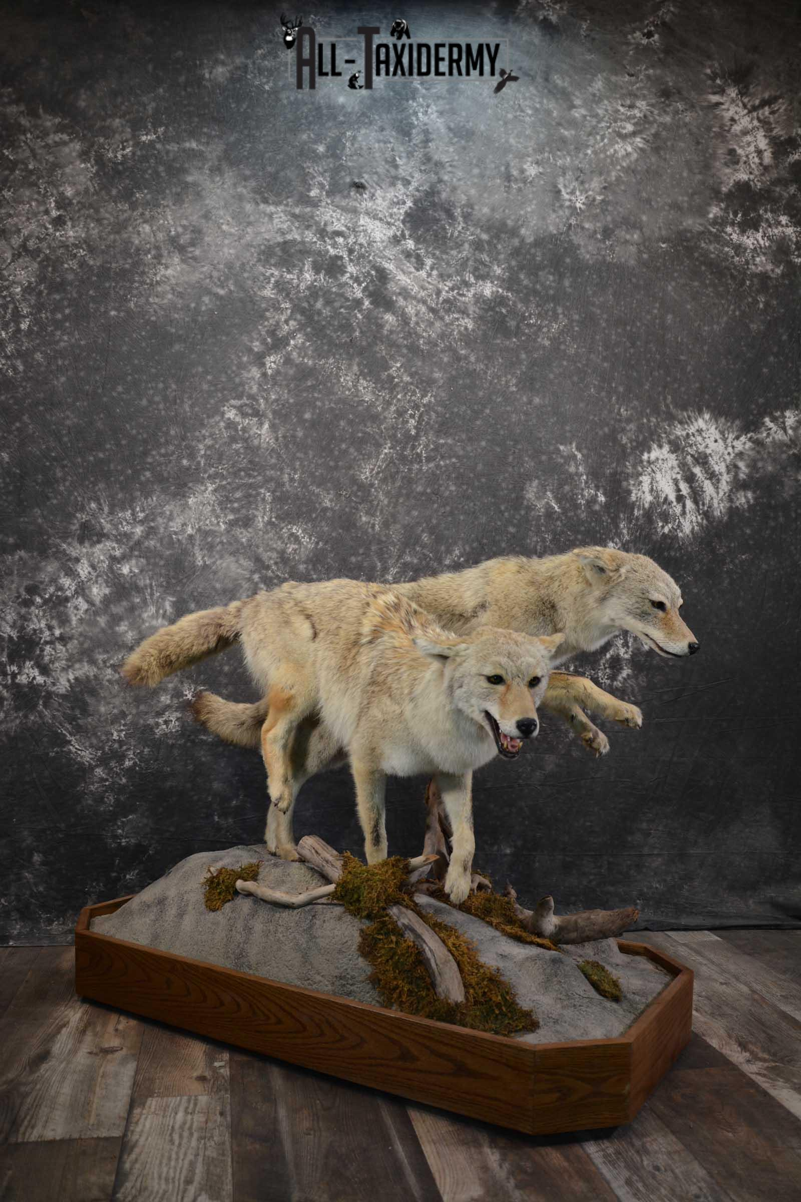 2 Life Size Coyotes Taxidermy Mount SKU 1551