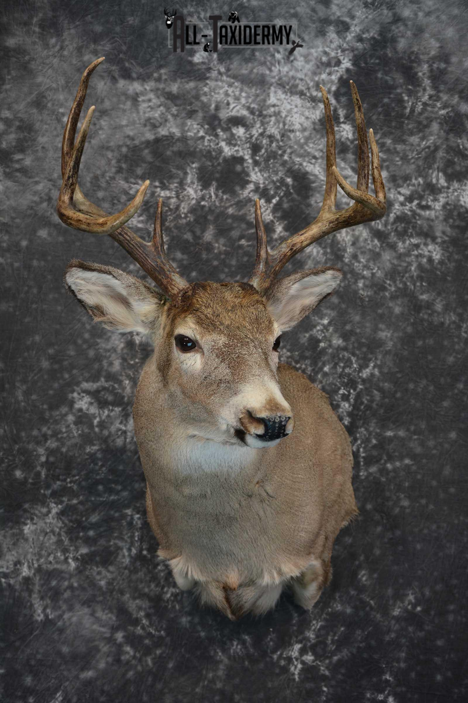 Whitetail Deer Taxidermy Shoulder Mount SKU 1549