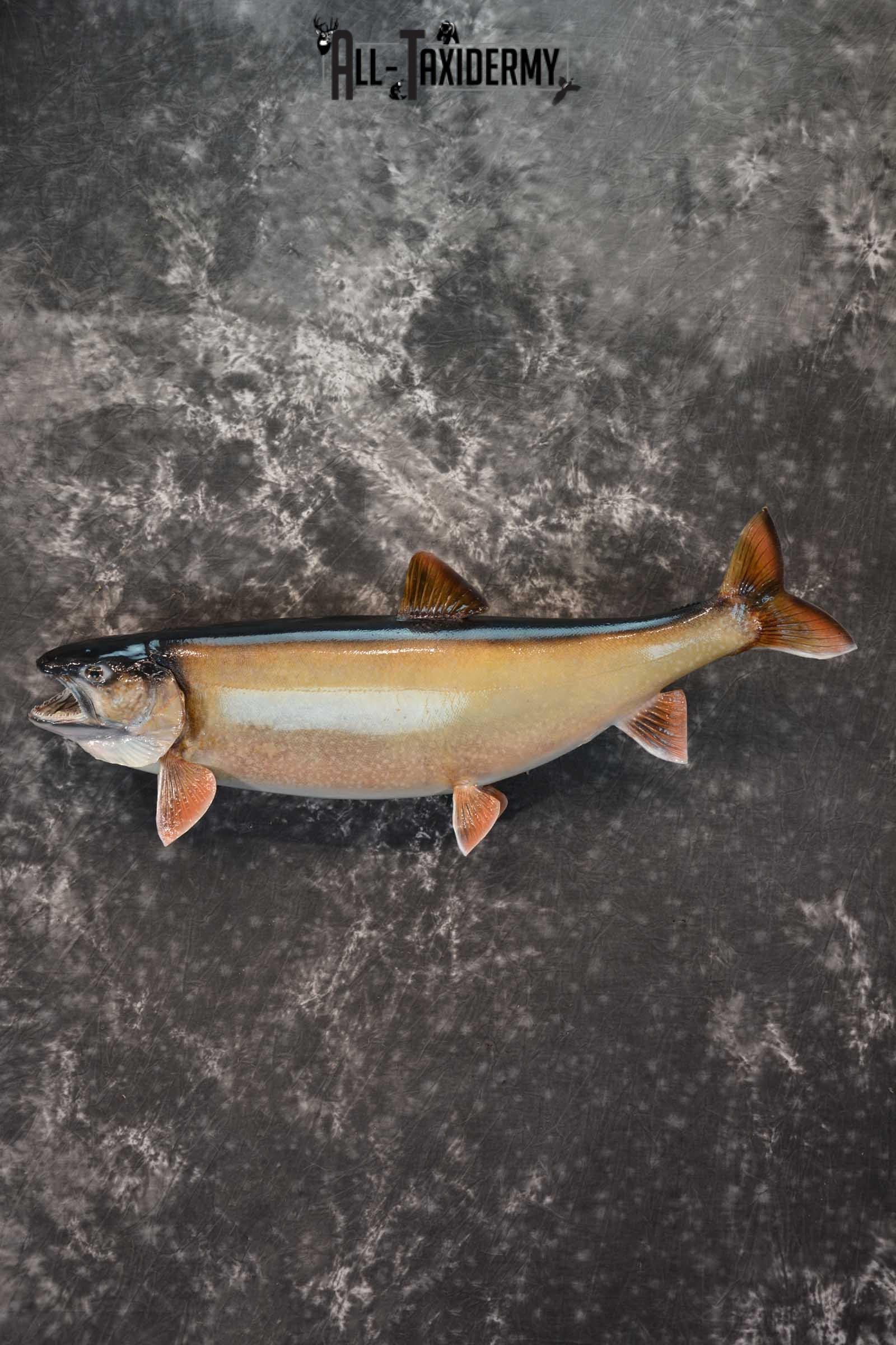 Lake Trout Taxidermy Fish Mount SKU 1552