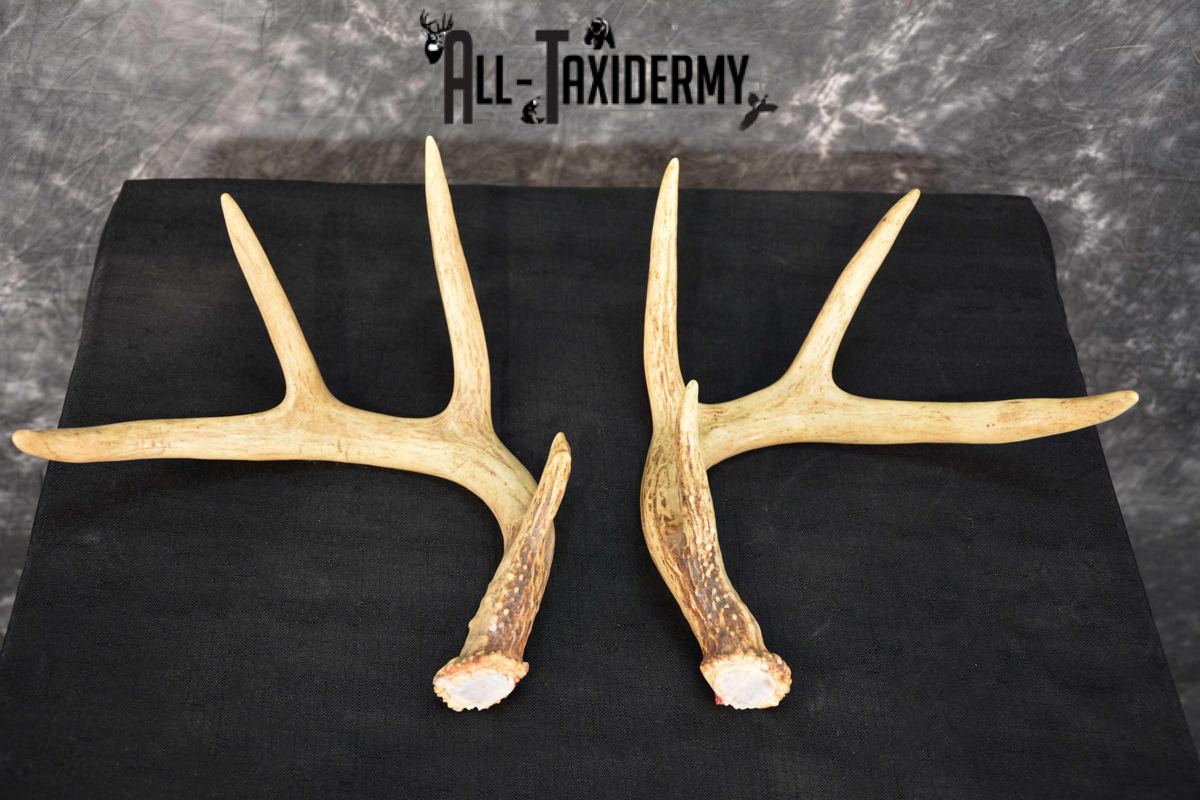 Whitetail Deer Antler Taxidermy Cut offs SKU 1555.2