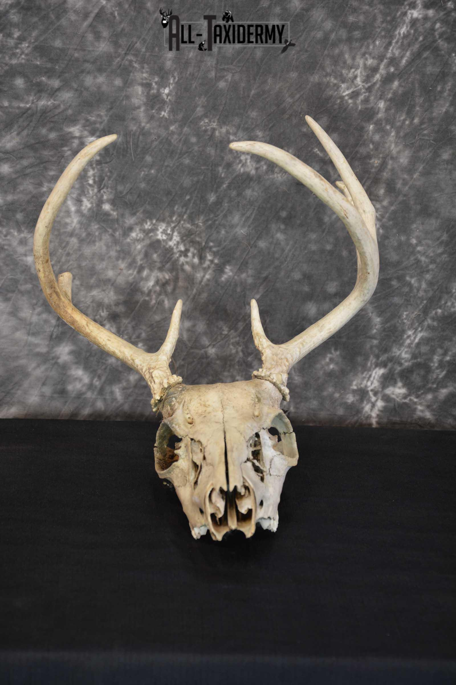 Whitetail Taxidermy Skull SKU 1555.3