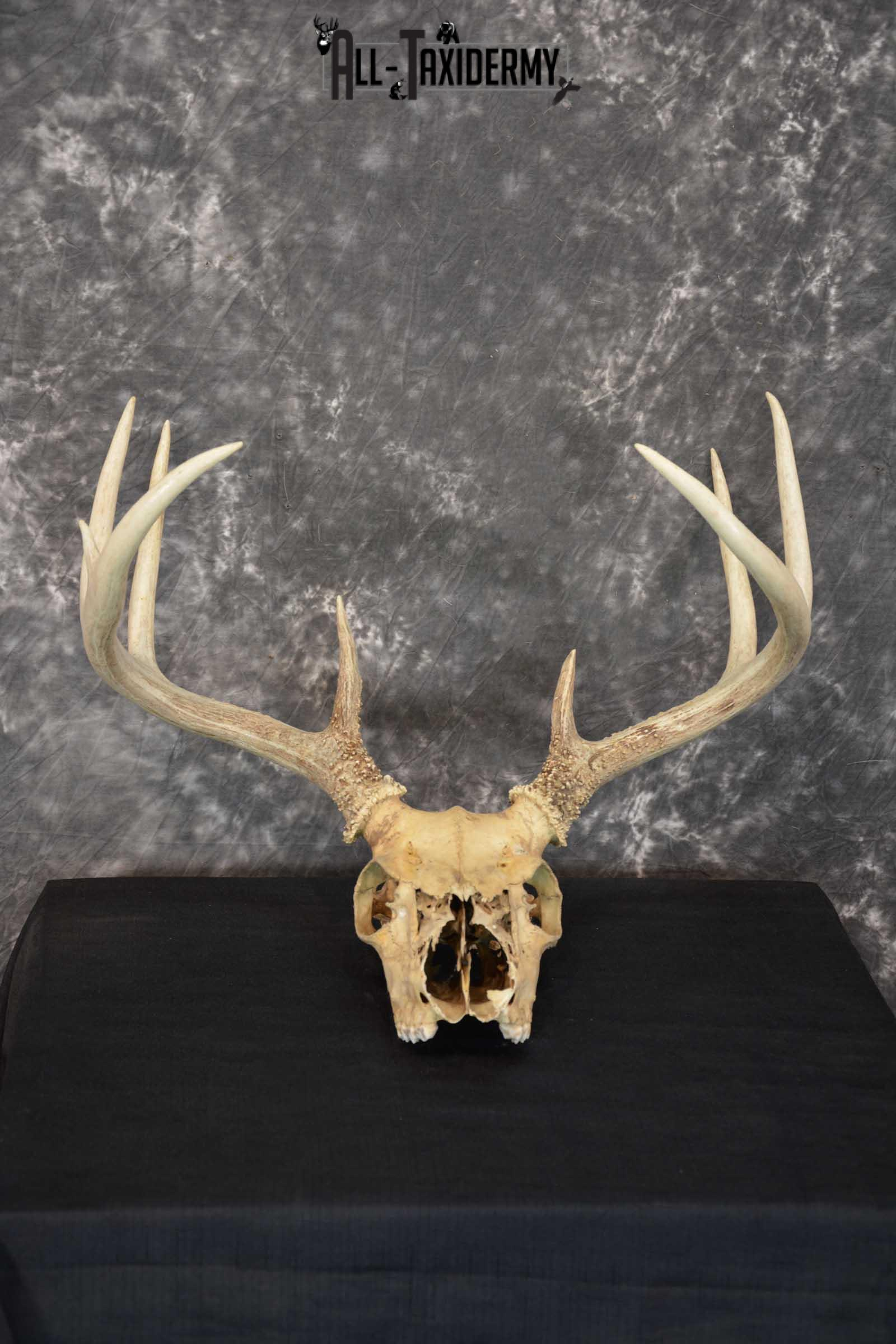 Whitetail Taxidermy Skull SKU 1555.8