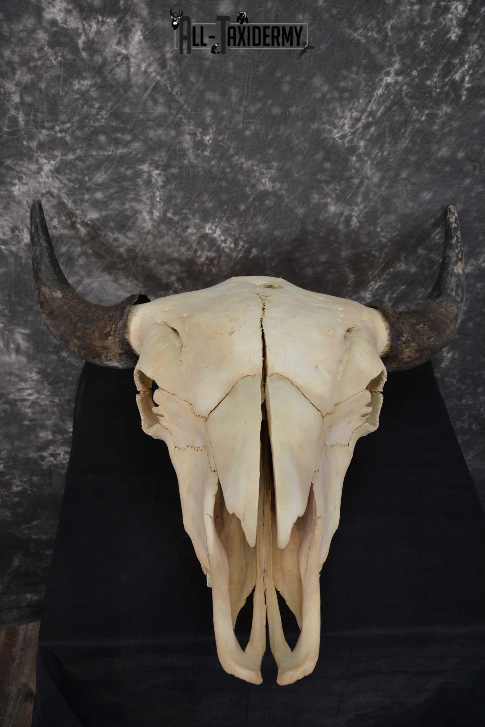 American Bison Skull Taxidermy SKU 1534
