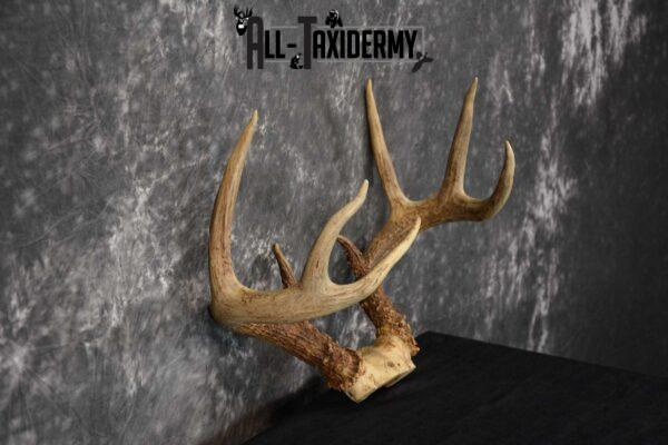 Whitetail Deer Antler Skull Cap Taxidermy SKU 1535.1