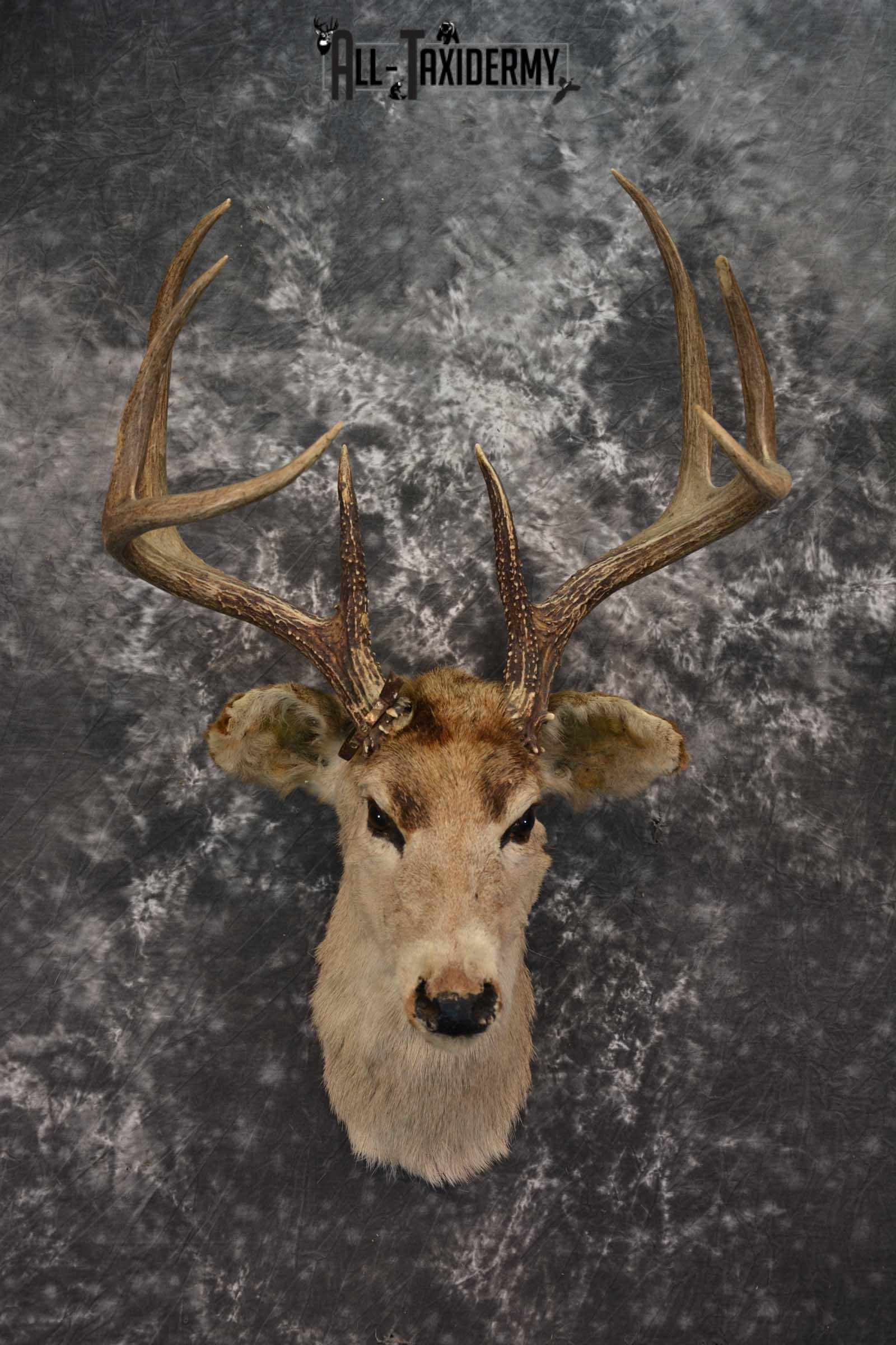 Whitetail Deer Taxidermy Head Mount Vintage 8 Point (1946)  SKU 1536