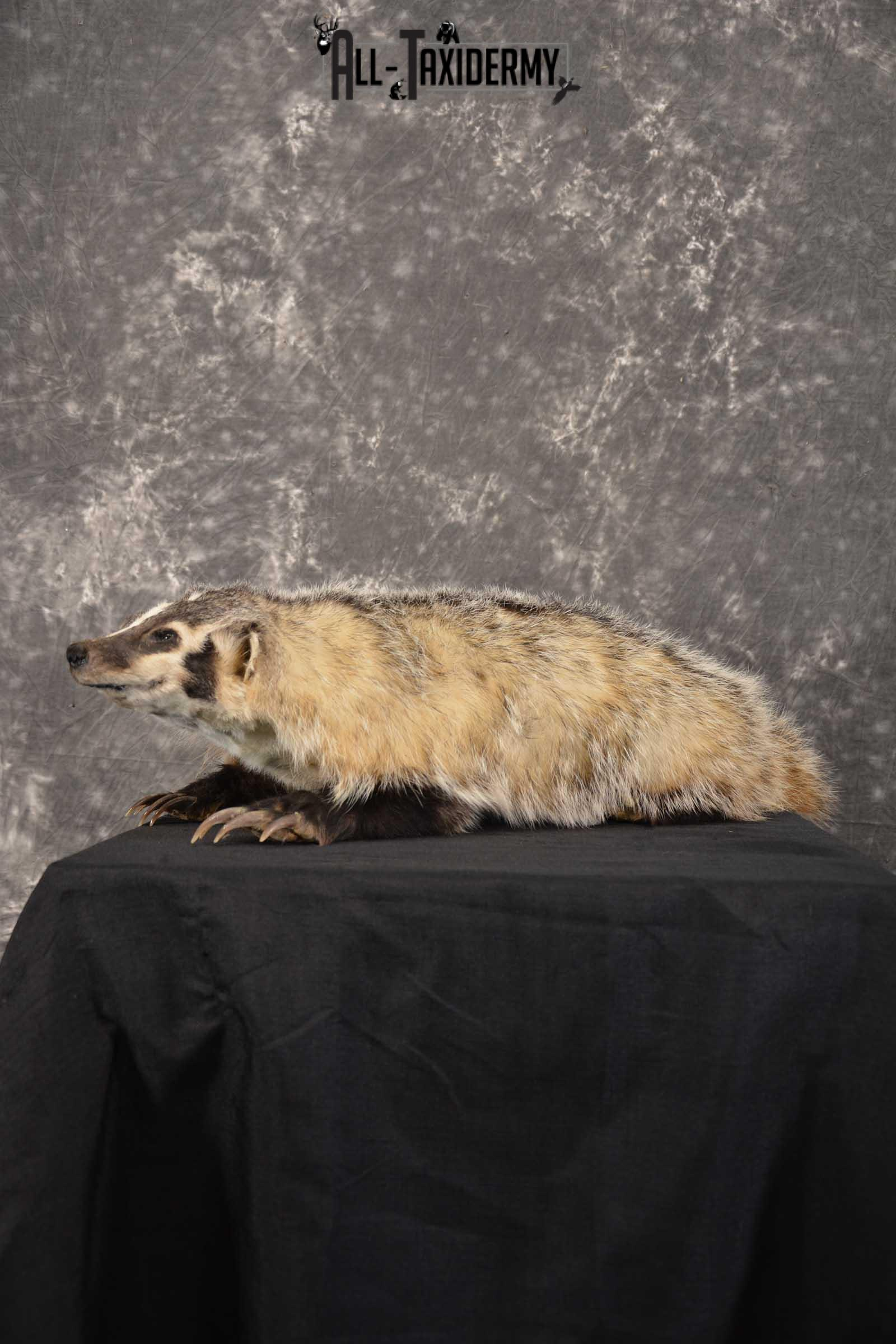 Life Size Badger Taxidermy Mount SKU 1539