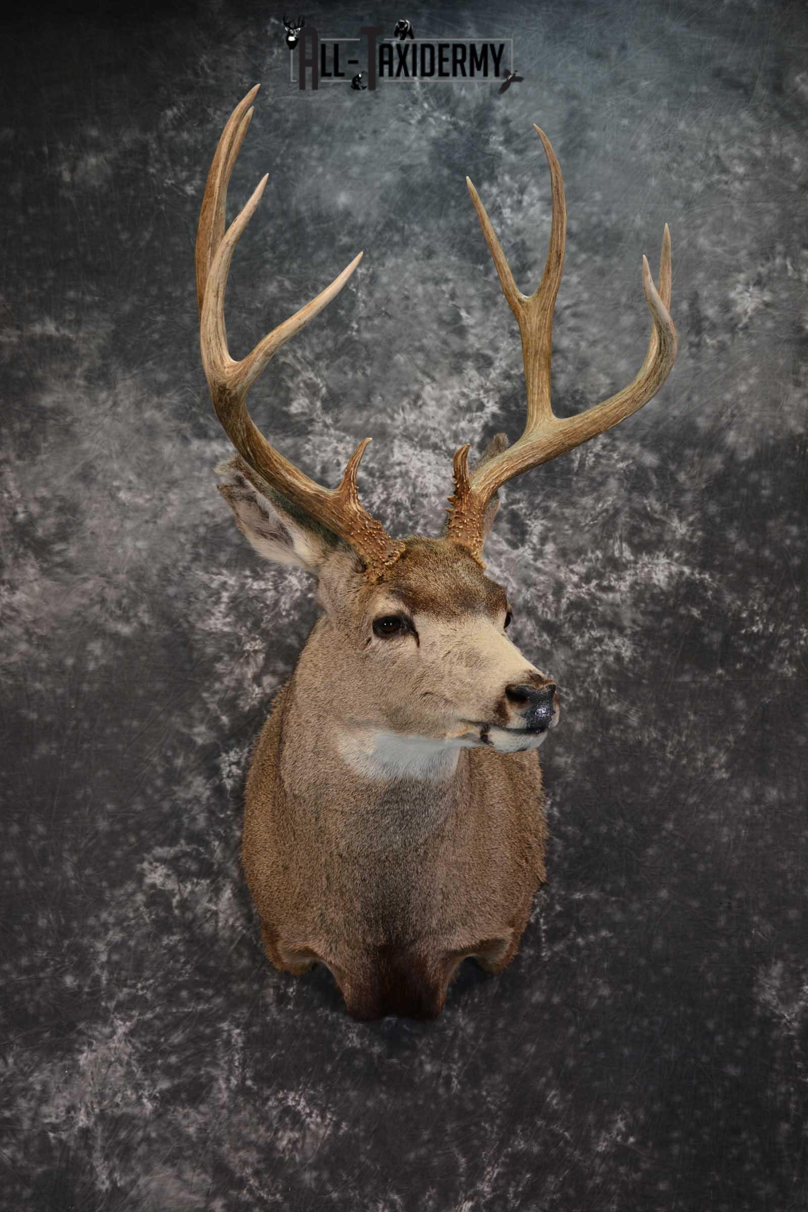 Mule Deer Taxidermy Shoulder Mount SKU 1541