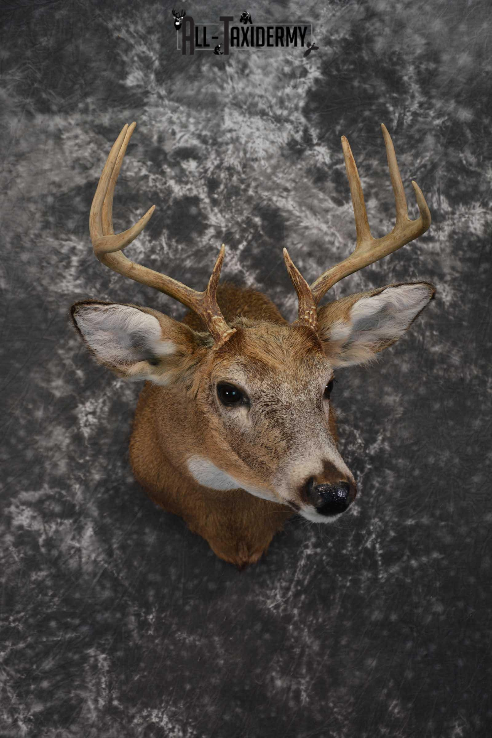 Whitetail Deer Shoulder Taxidermy Mount SKU 1542