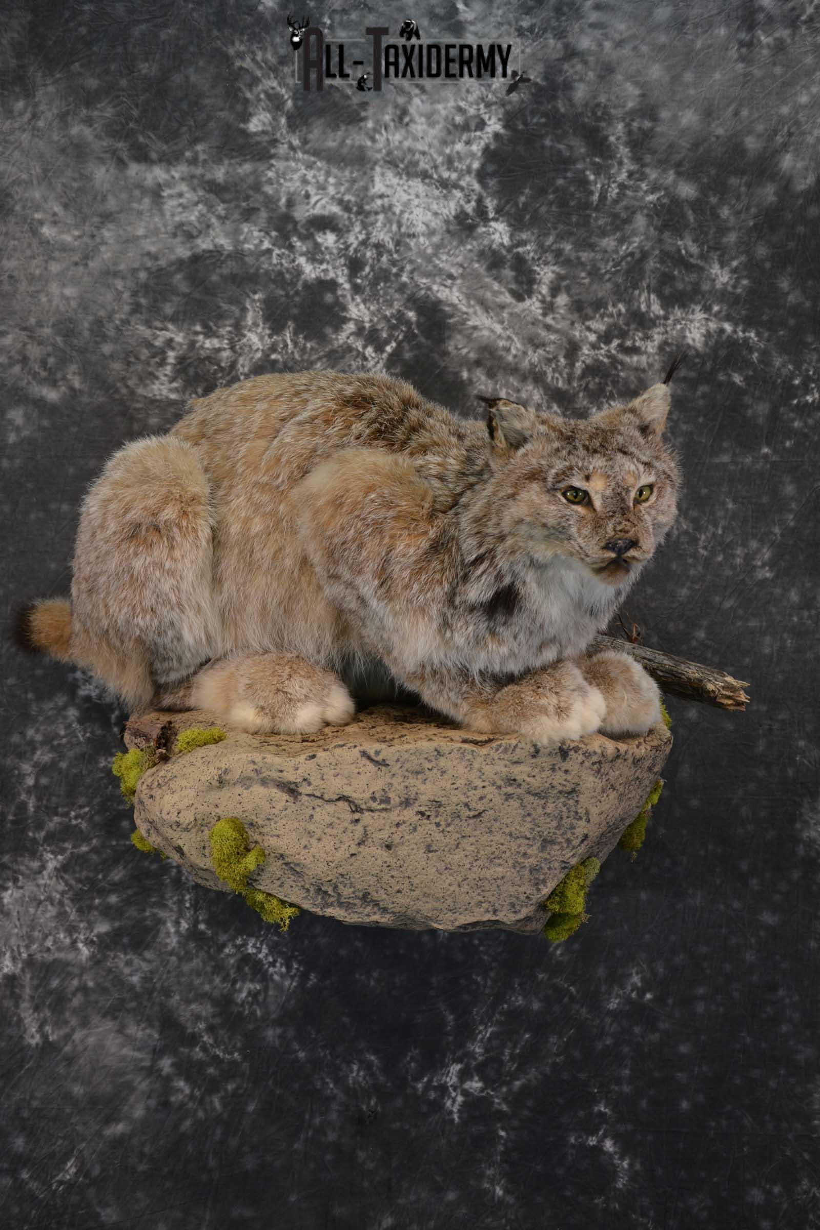 Life Size Lynx Taxidermy Mount SKU 1550