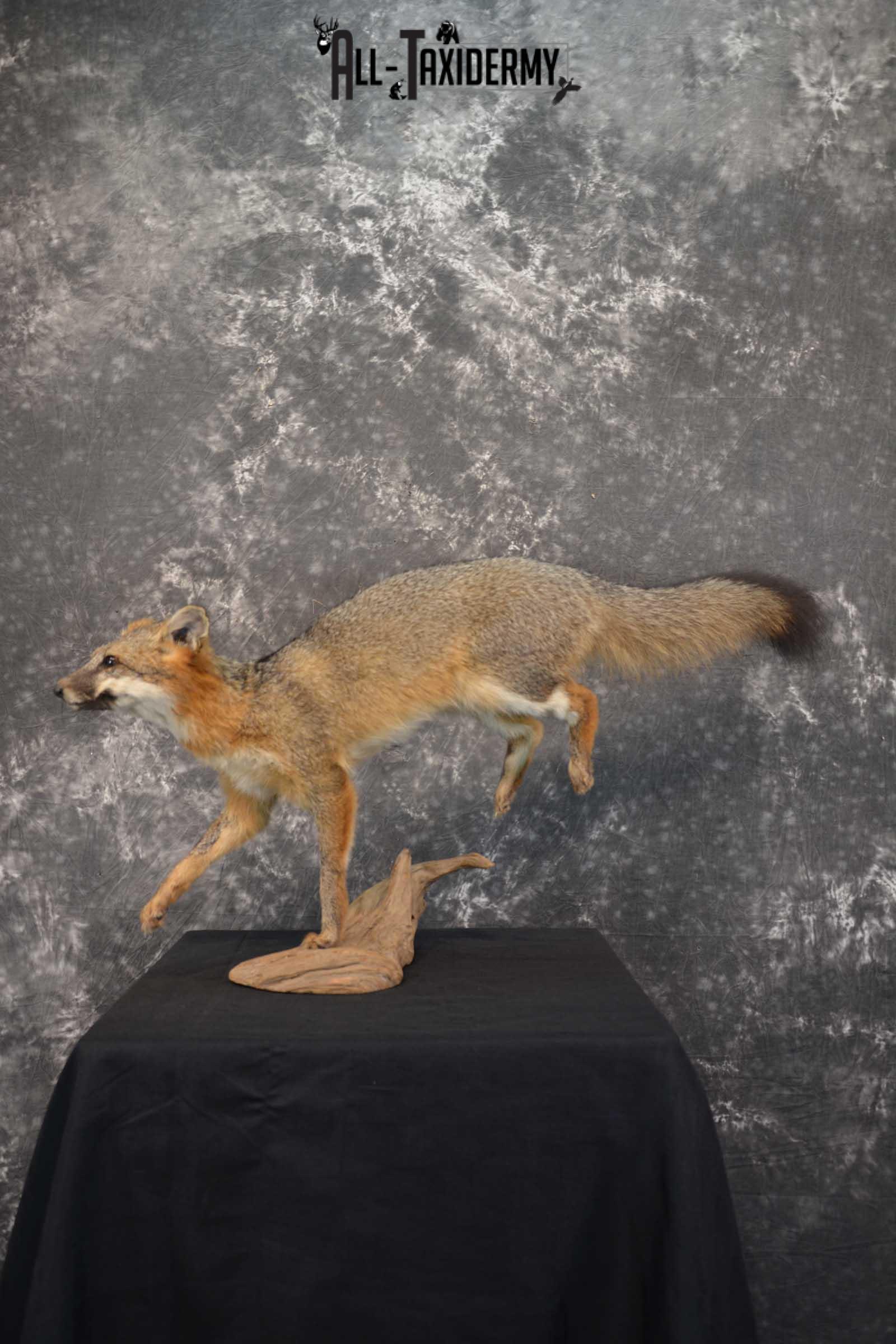 Grey Fox Taxidermy Mount SKU 1567