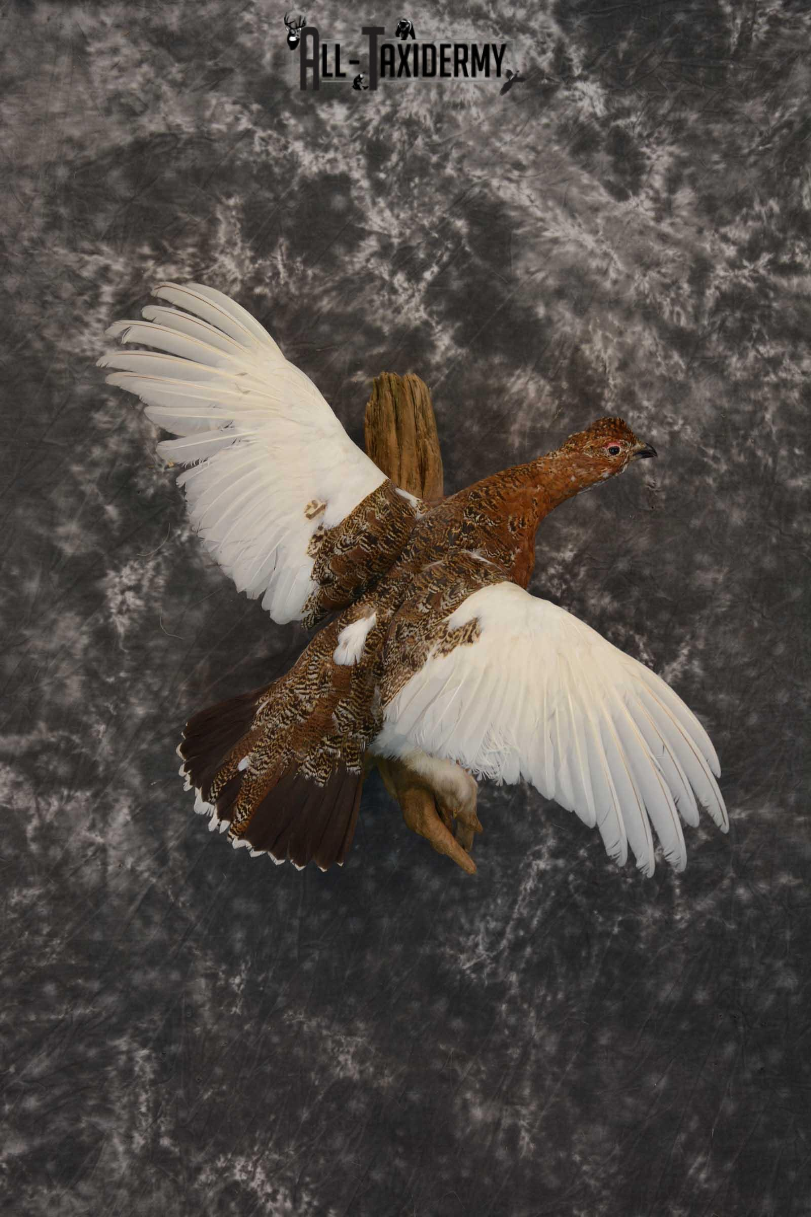 Ptarmigan Taxidermy Bird Mount SKU 1570