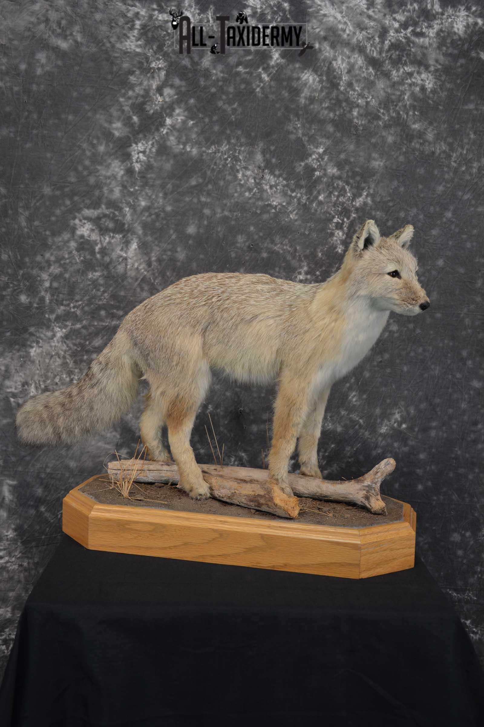 Coyote Pup Taxidermy Mount SKU 1575