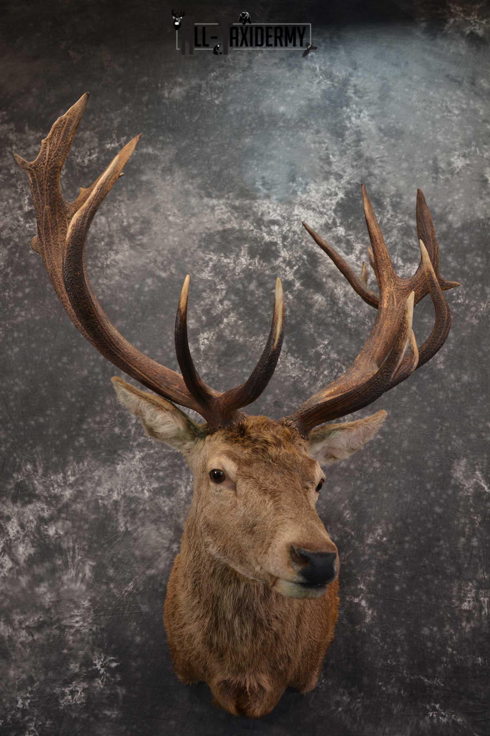 Red Stage Deer Taxidermy Shoulder Mounts SKU 1587