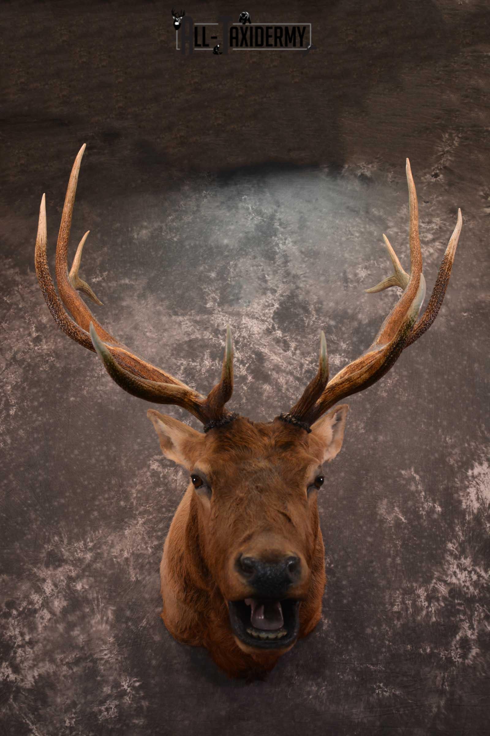 Elk Bugling Taxidermy Mount SKU 1569