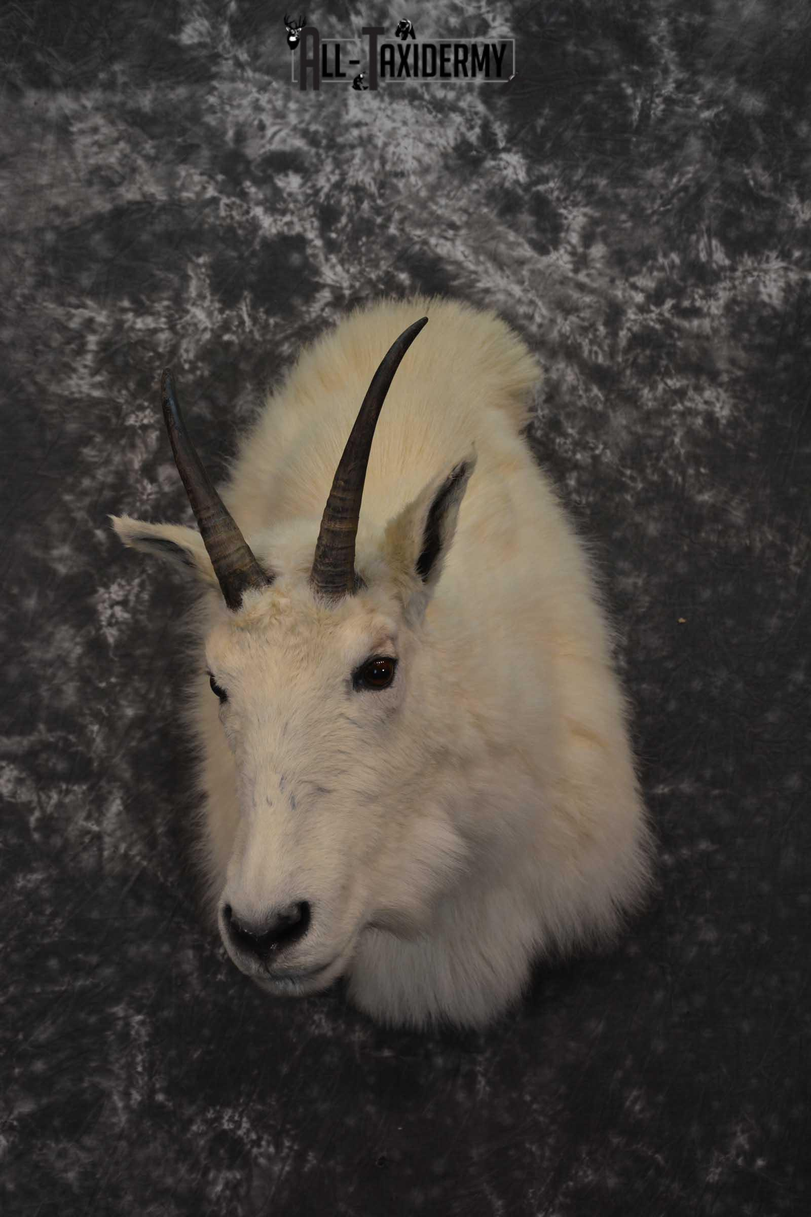 Mountain Goat Taxidermy Shoulder Mount SKU 1598