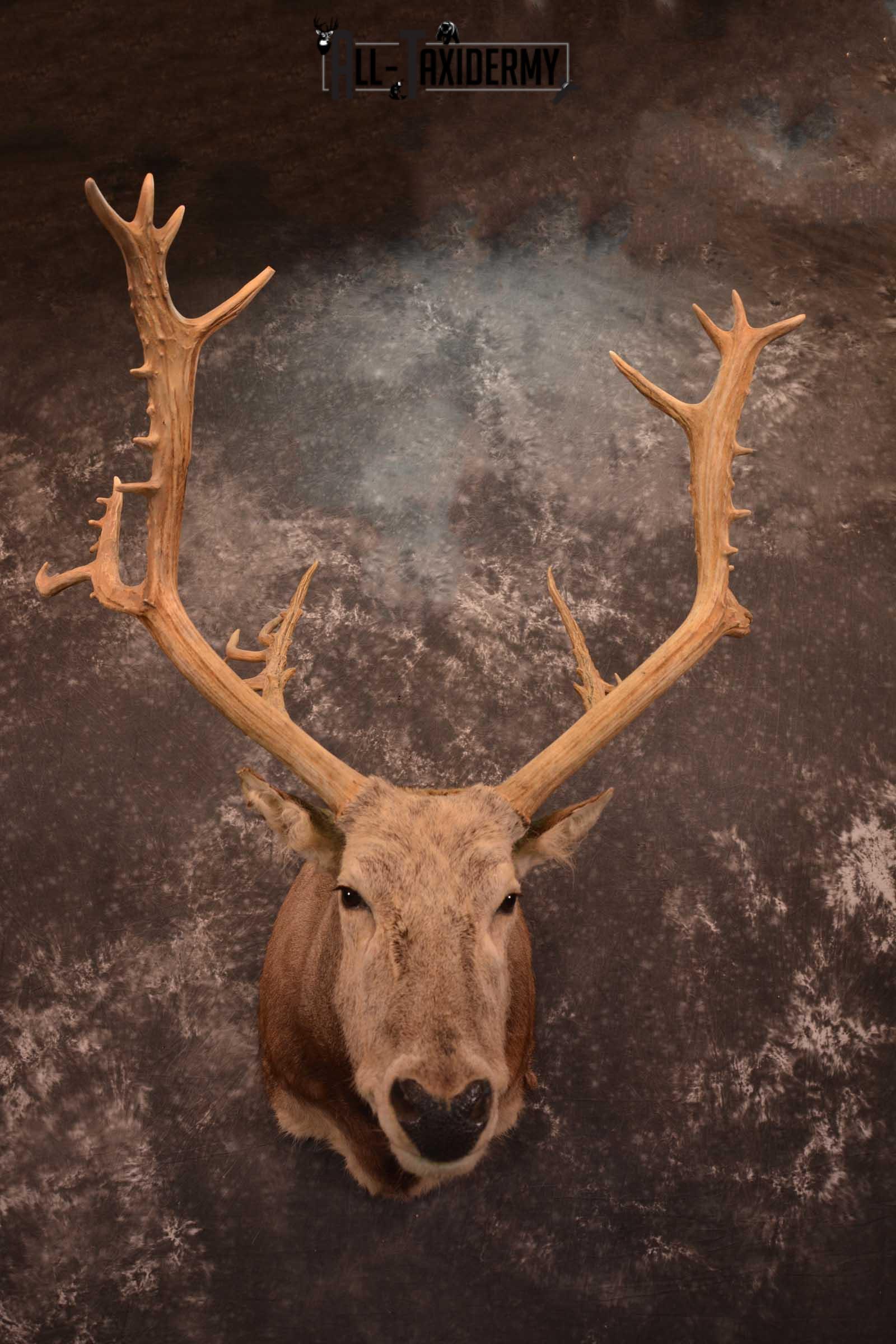 Pere David's Deer Taxidermy Shoulder Mount SKU 1599