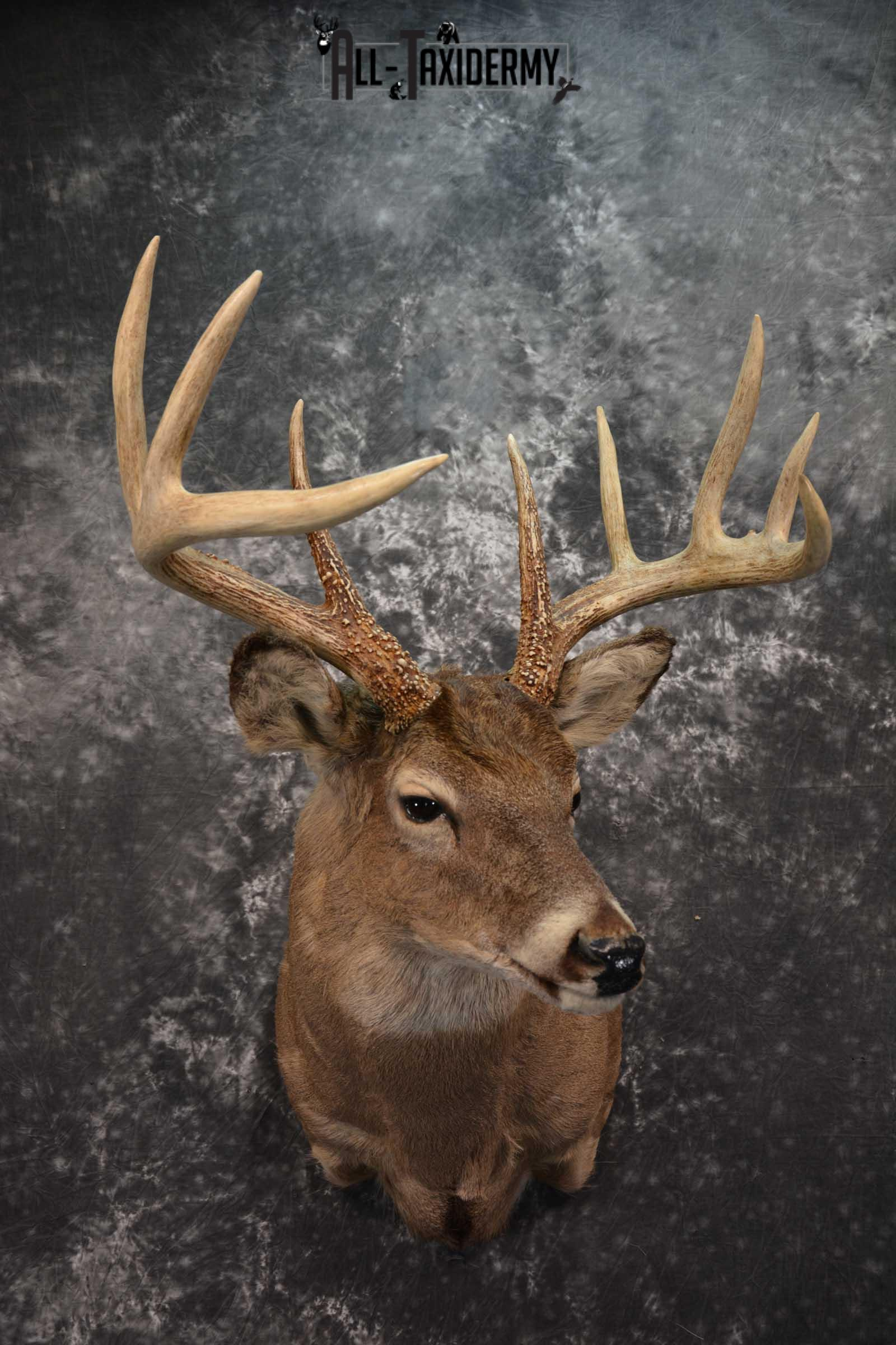 Whitetail Deer Taxidermy Shoulder Mount SKU 1601