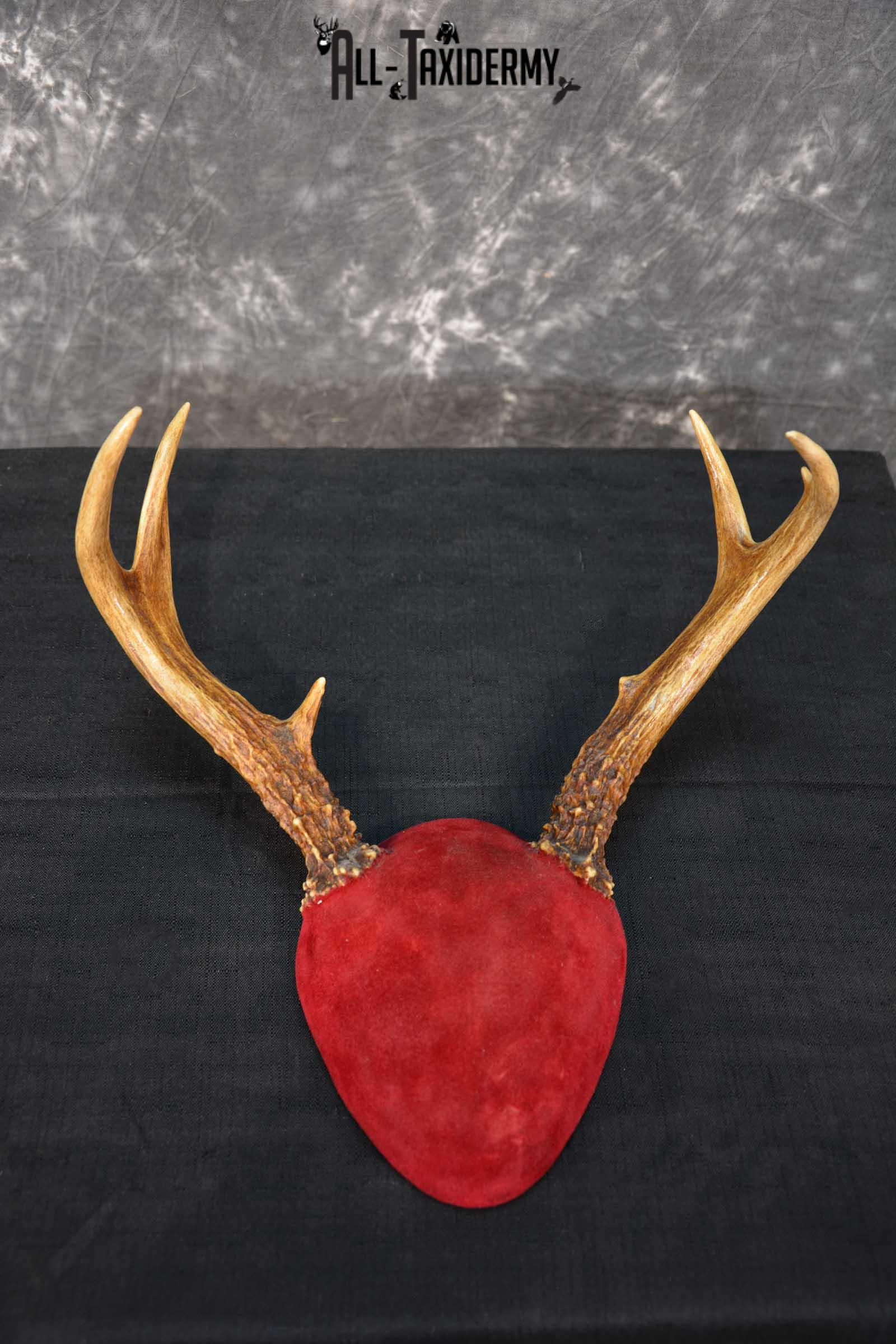 Whitetail Deer Antler plaque taxidermy mount for sale SKU 1610