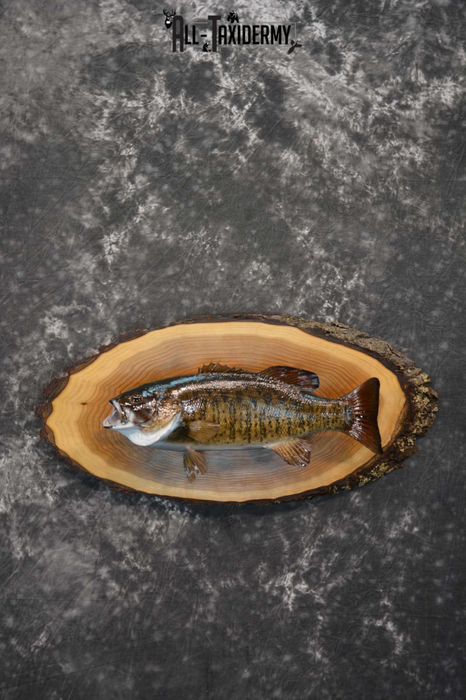 Small Mouth  Bass Taxidermy skin mount on hardwood slab SKU 1608