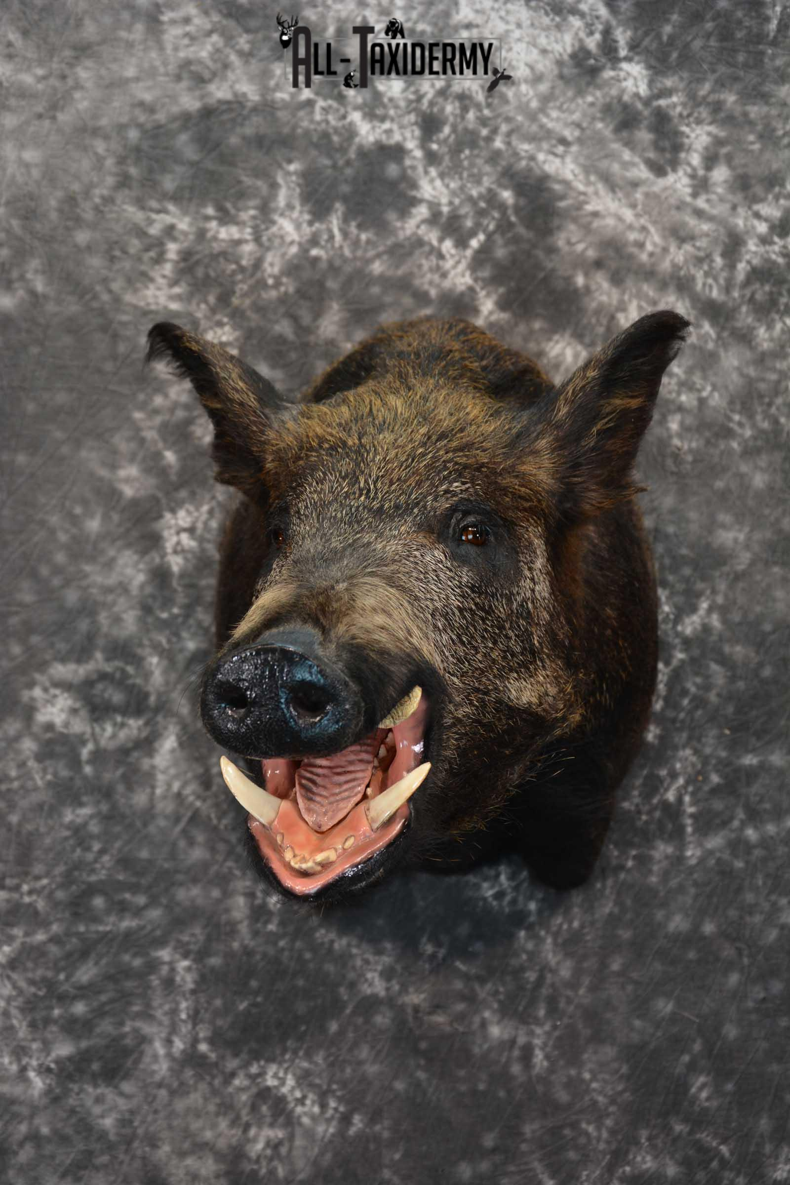 Wild Boar Taxidermy Shoulder Mount for Sale SKU 1607
