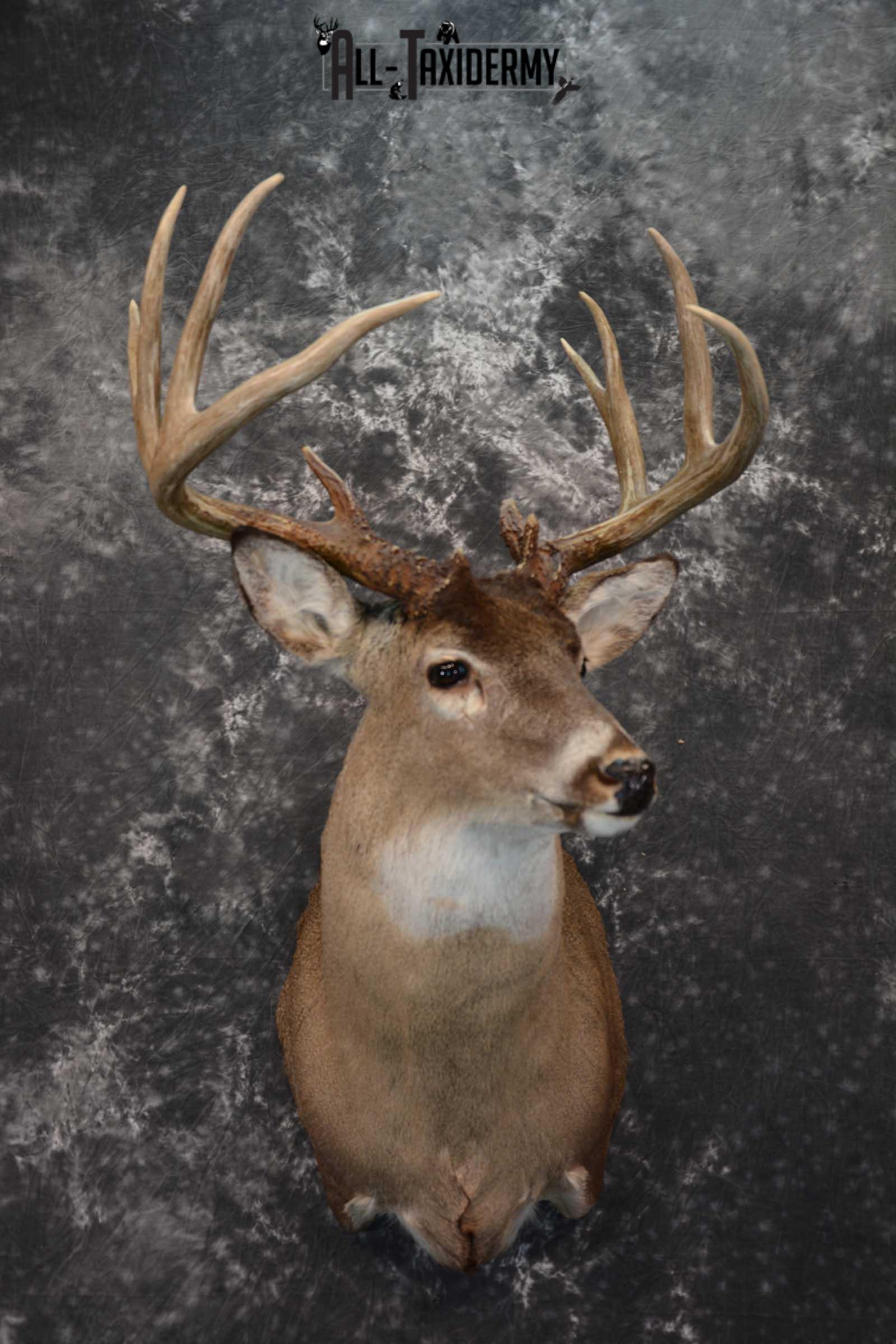 Whitetail Deer Taxidermy shoulder mount for sale SKU 1604