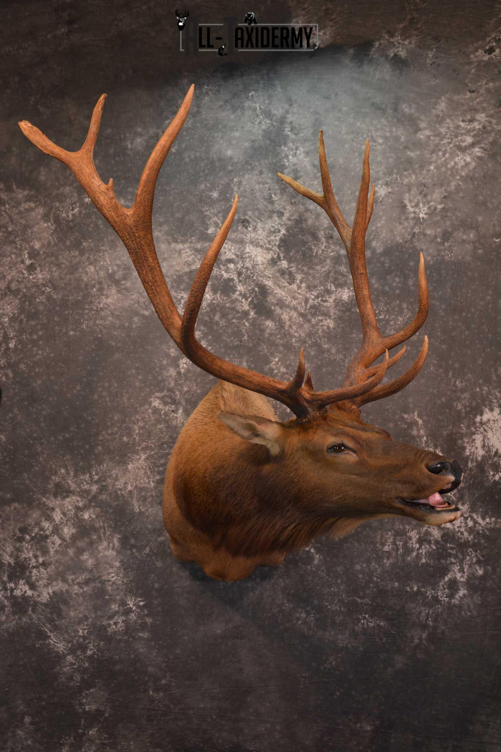 Elk Bugling Taxidermy Shoulder Mount SKU 1588