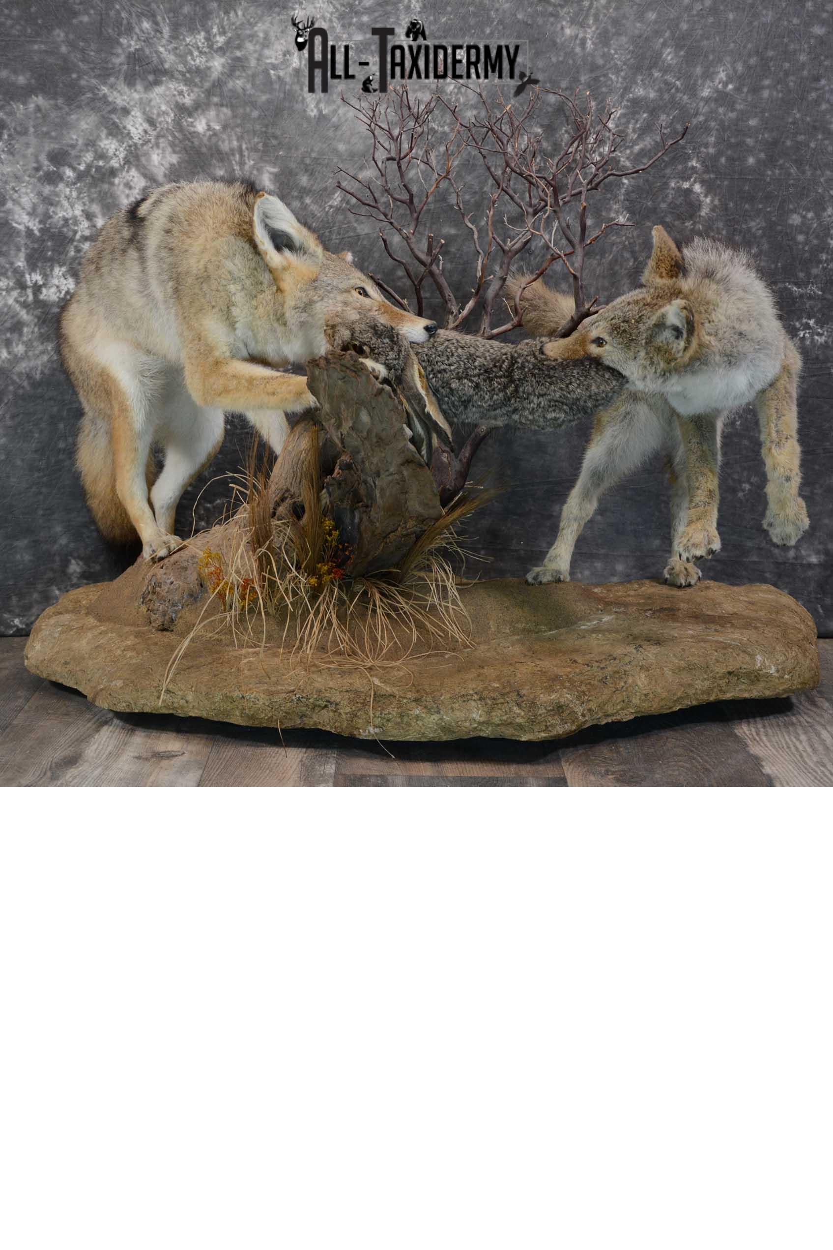 2 Full body coyotes with rabbit taxidermy mount SKU 1659