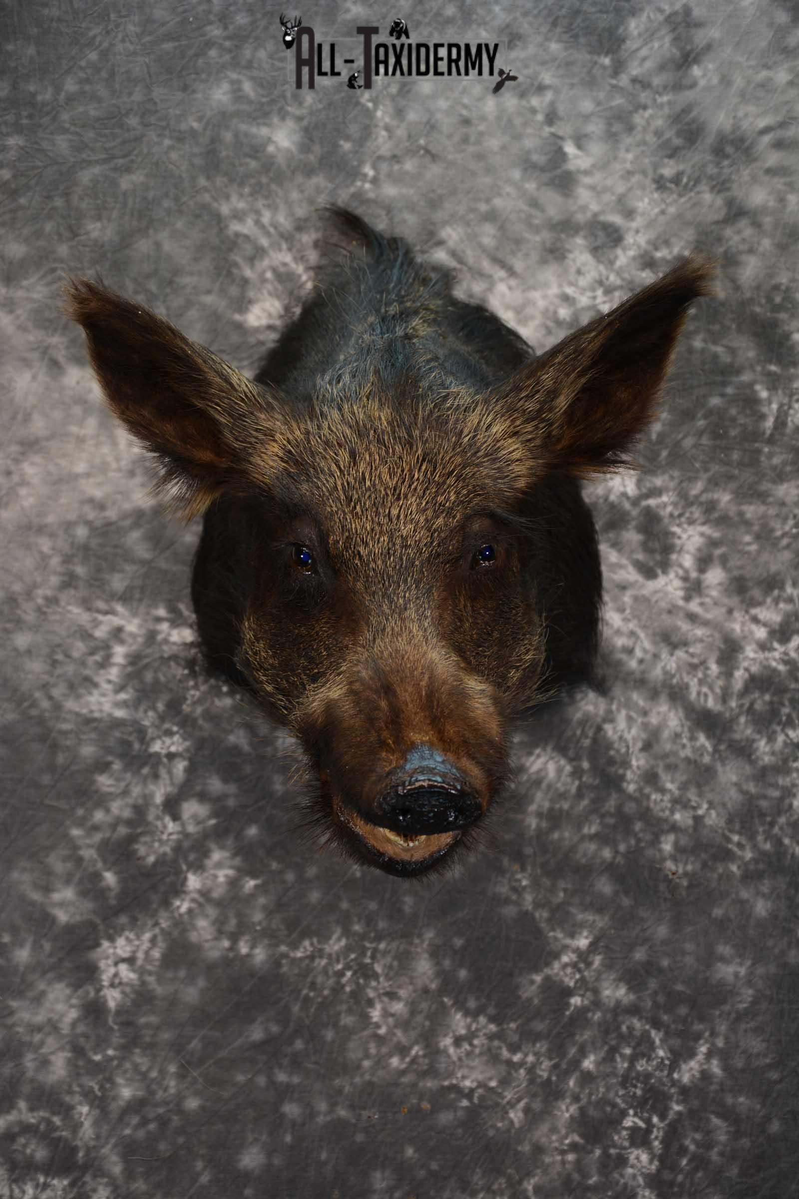Wild Boar Taxidermy shoulder mount SKU 1624