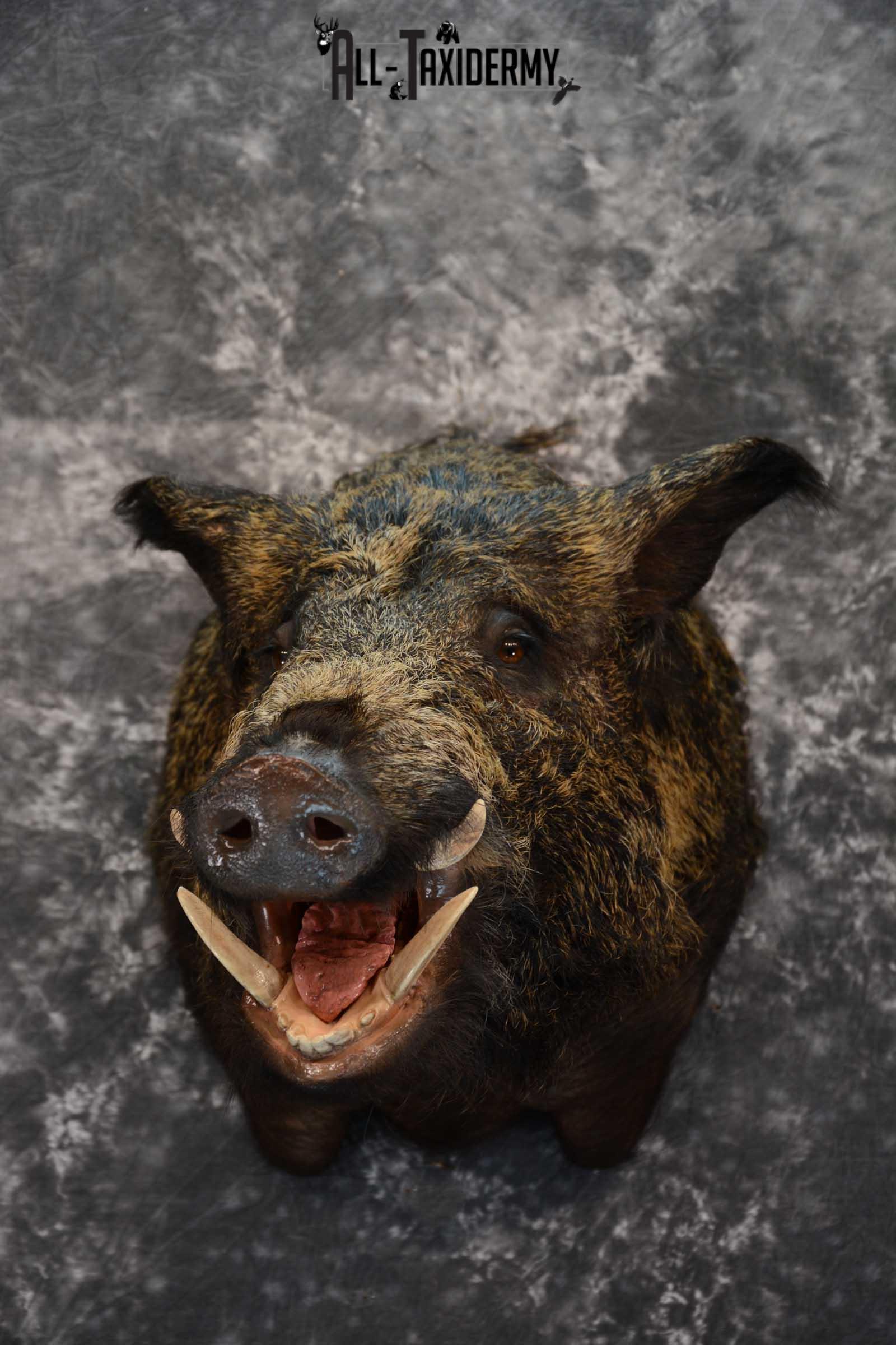 Razor Back Boar taxidermy shoulder mount for sale SKU 1626