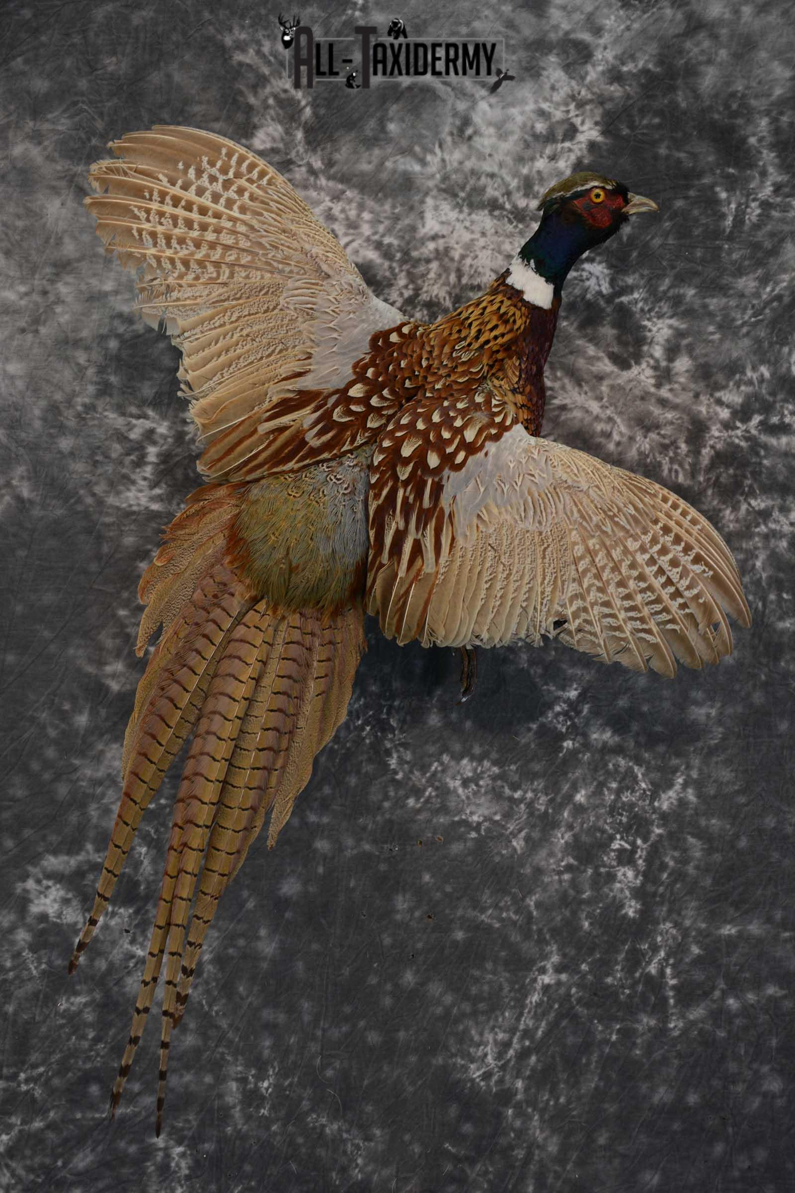 Ring Neck Pheasant taxidermy bird mount for sale SKU 1639