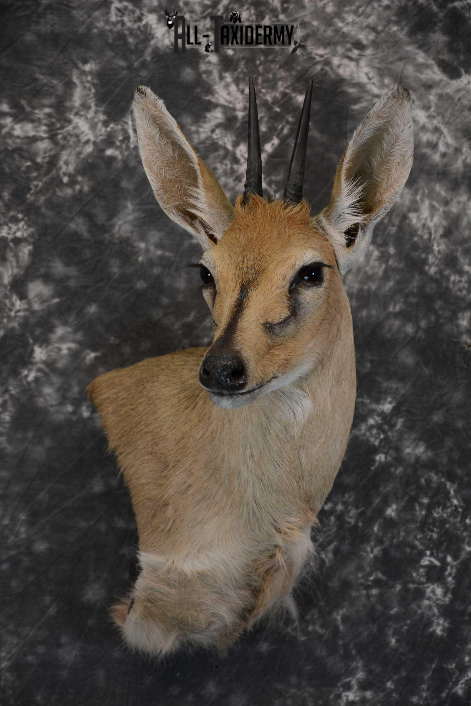 African Duiker wall pedestal taxidermy shoulder mount SKU 1641