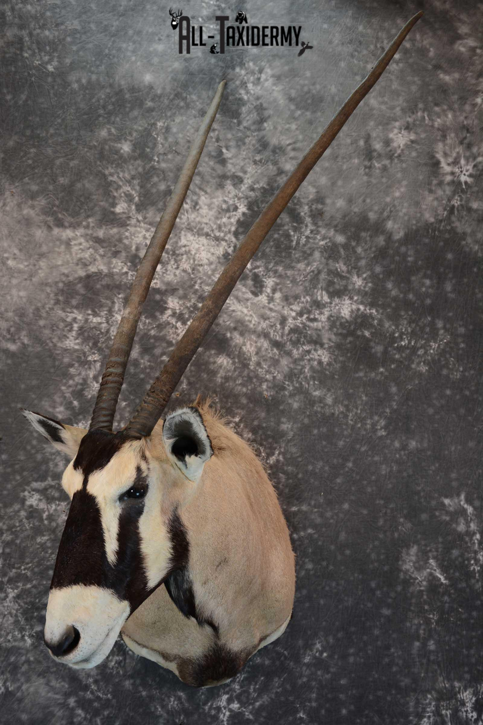 African Gemsbok taxidermy shoulder mount for sale SKU 1649