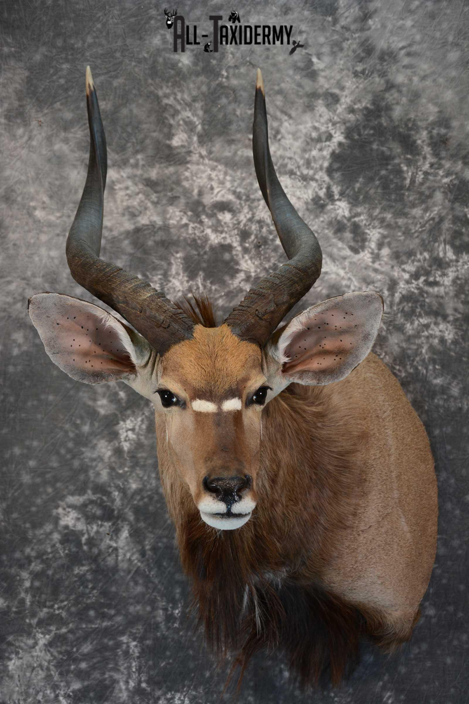 African Nyala taxidermy shoulder mount for sale SKU 1650