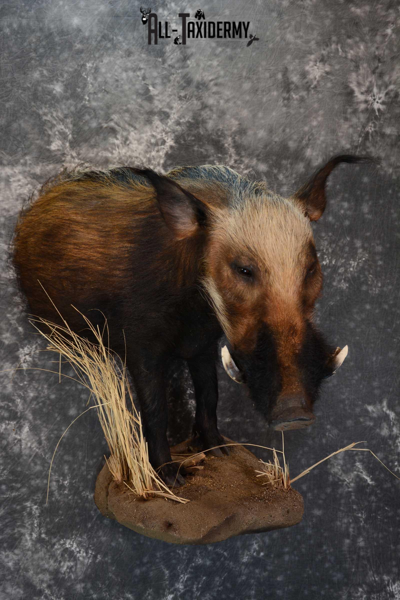 1/2 body African bush pig wall pedestal taxidermy mount SKU 1651
