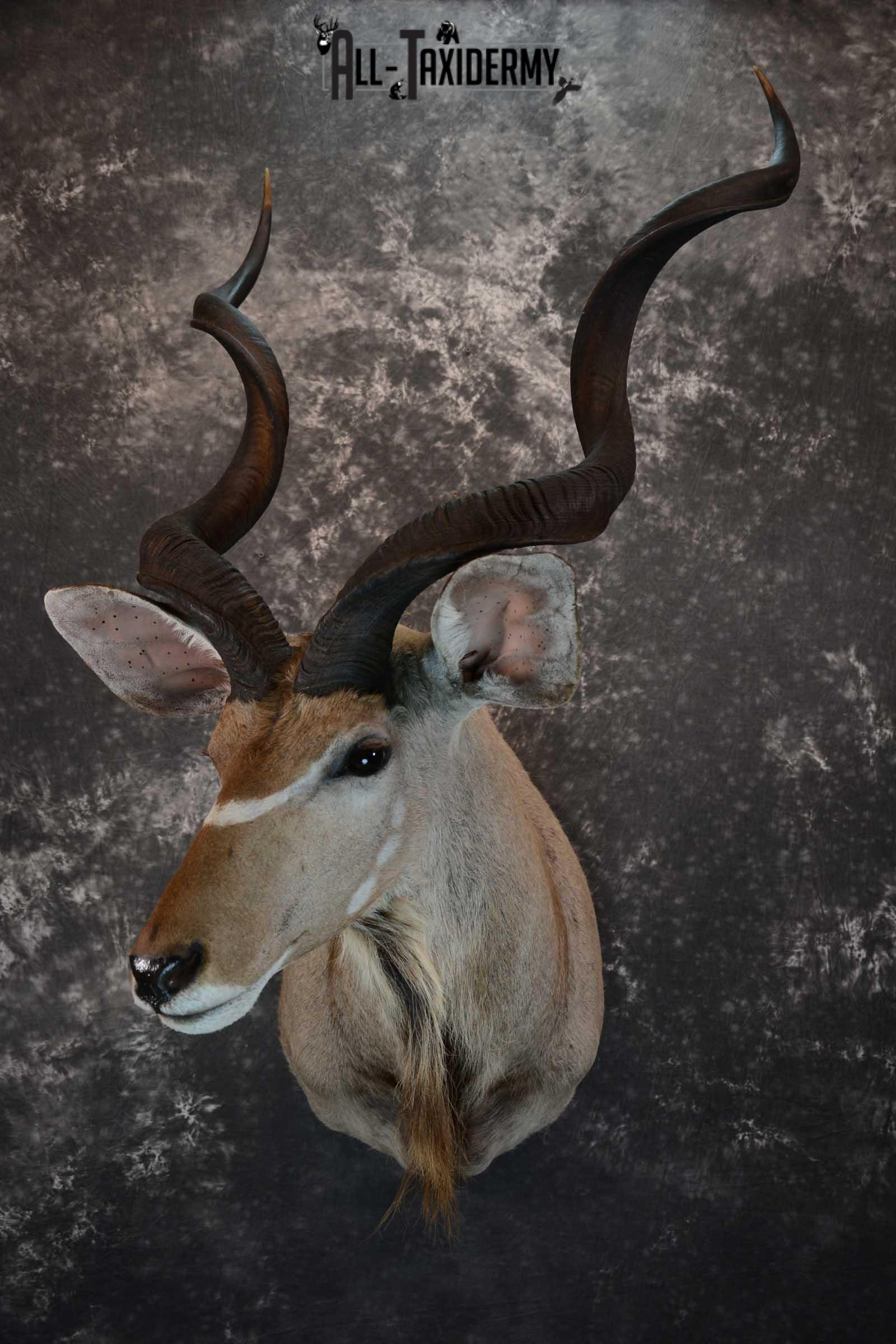 African Kudu Taxidermy shoulder mount for sale SKU 1653