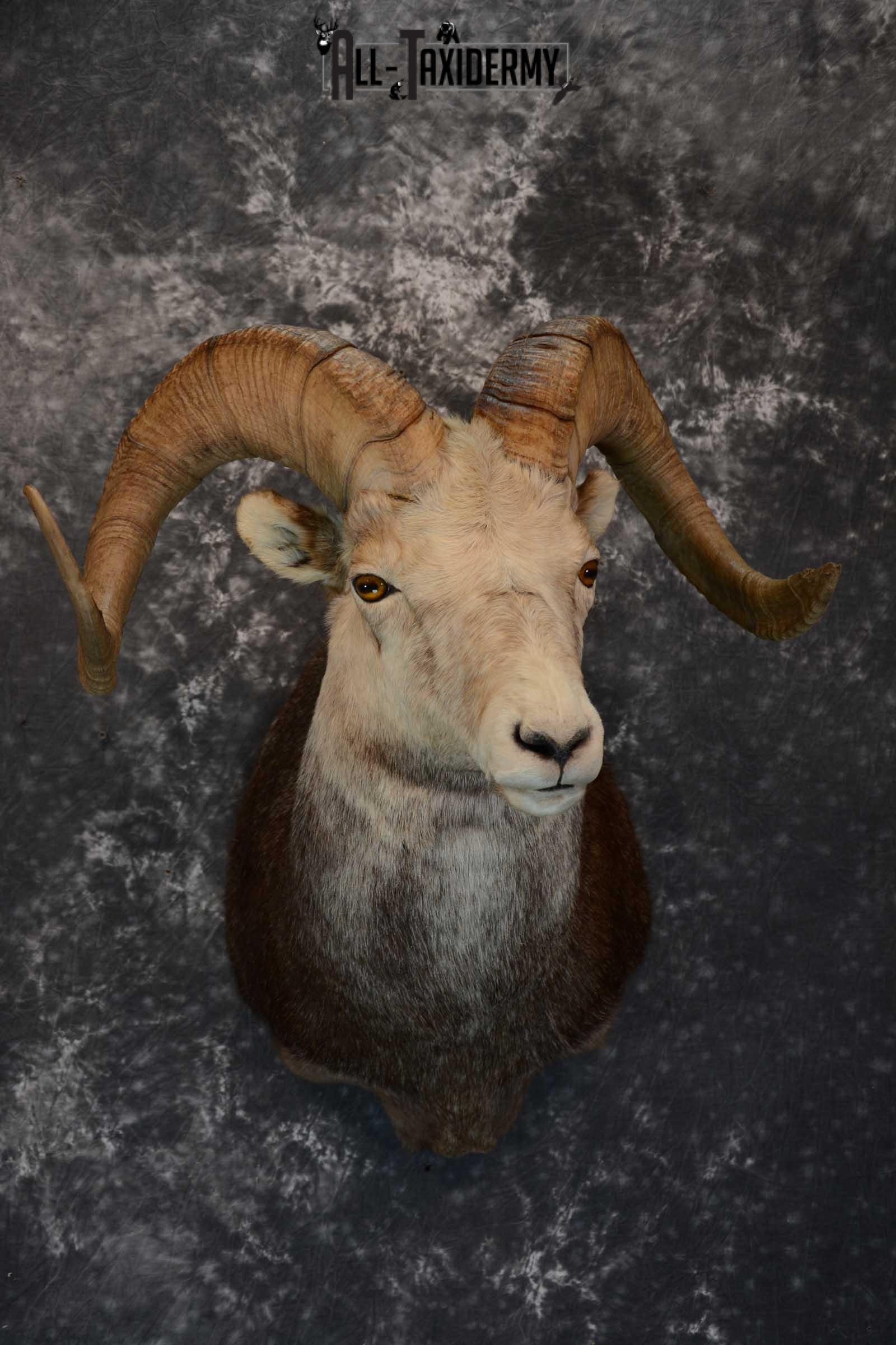 Stone Sheep taxidermy shoulder mount for sale SKU 1654