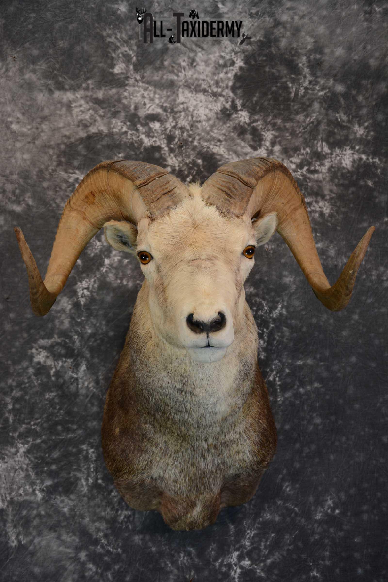 Stone Sheep taxidermy shoulder mount for sale SKU 1655
