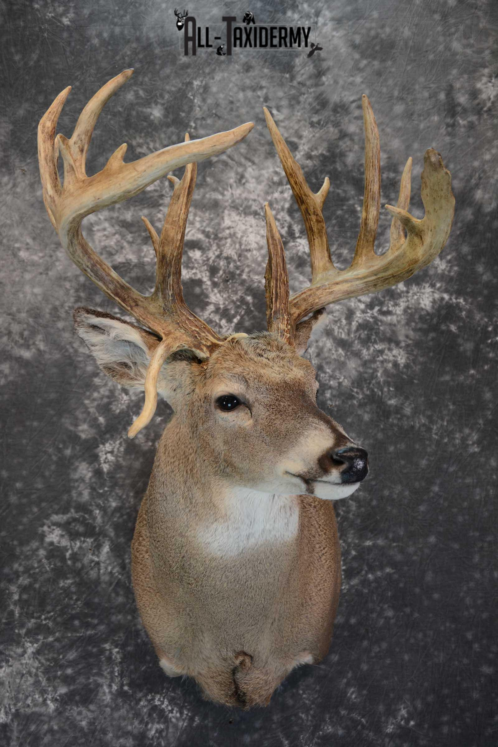 Whitetail Shoulder Mount taxidermy for sale SKU 1656