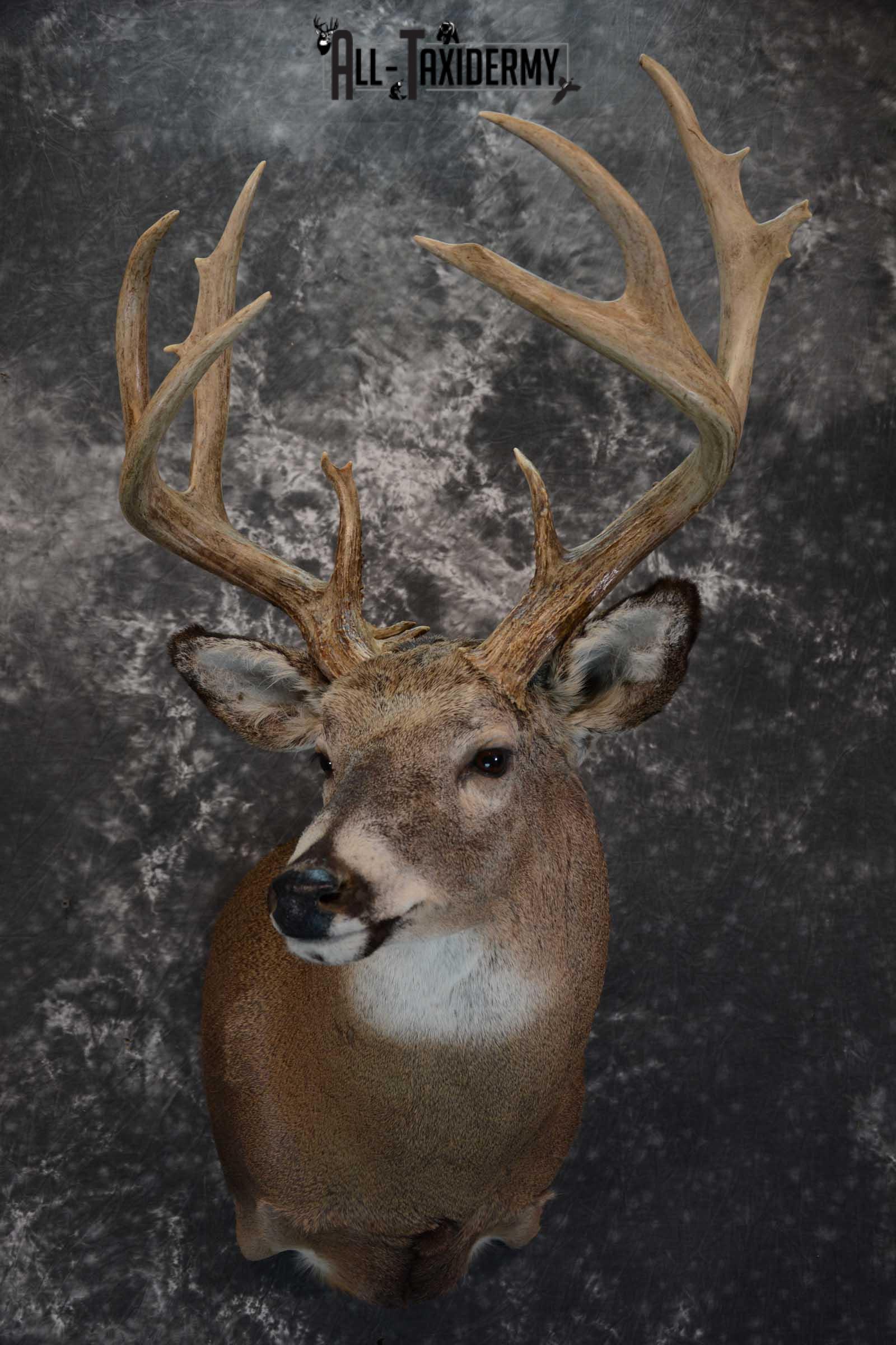 Whitetail Deer Shoulder taxidermy mount for sale SKU 1657