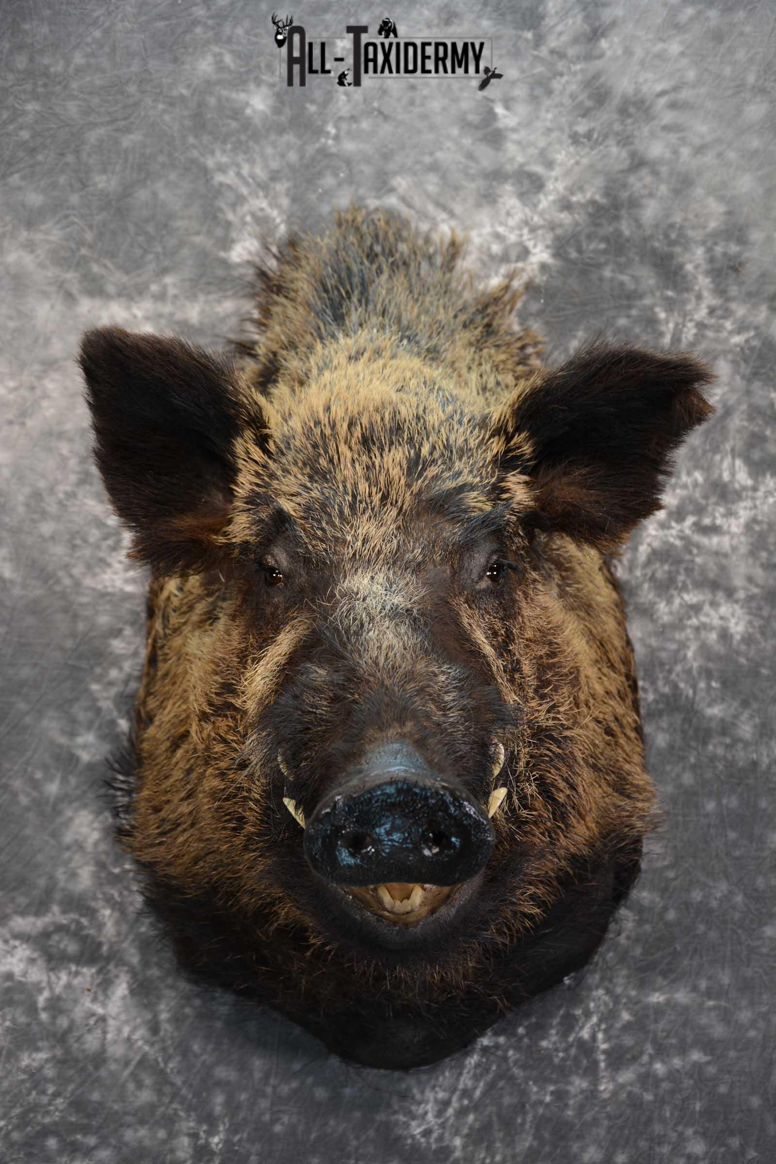 XXL Russian Boar taxidermy shoulder mount for sale SKU 1666