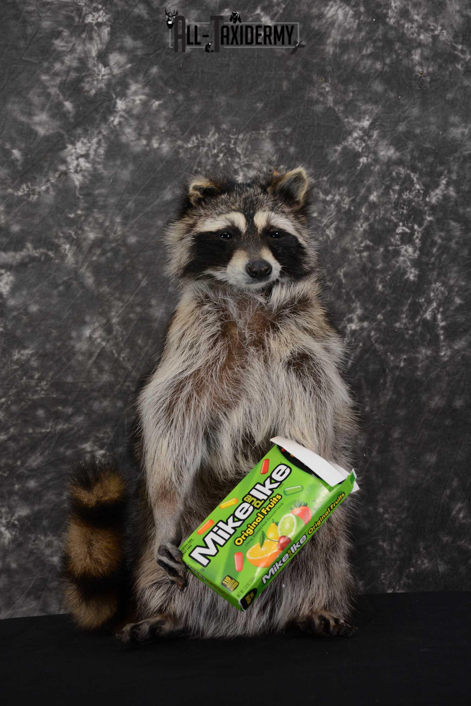 Raccoon with Mike and Ike's Candy full body taxidermy mount for sale SKU 1628