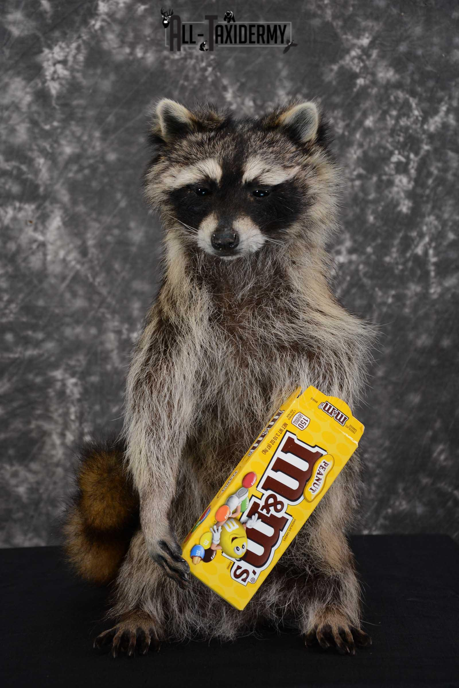 Raccoon with M&M Candy full body taxidermy mount for sale SKU 1629