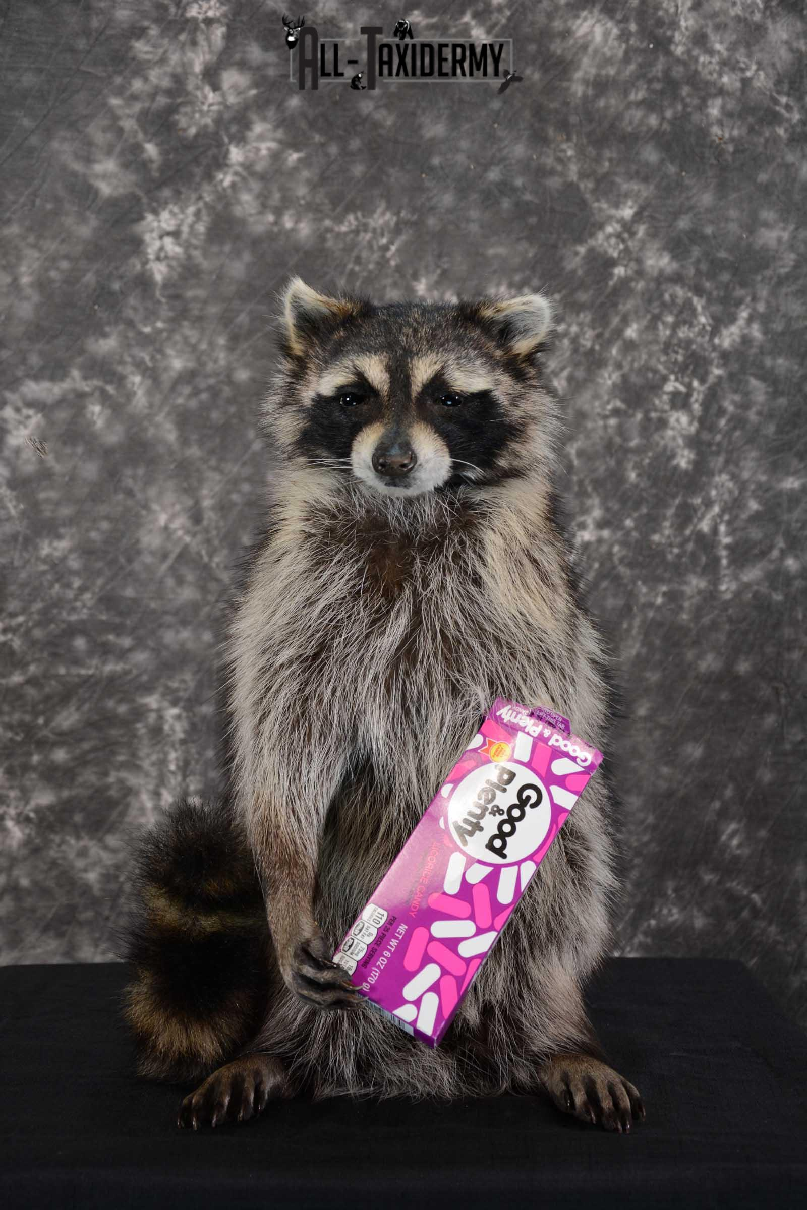Raccoon with Good and Plenty Candy life size taxidermy mount for sale SKU 1630